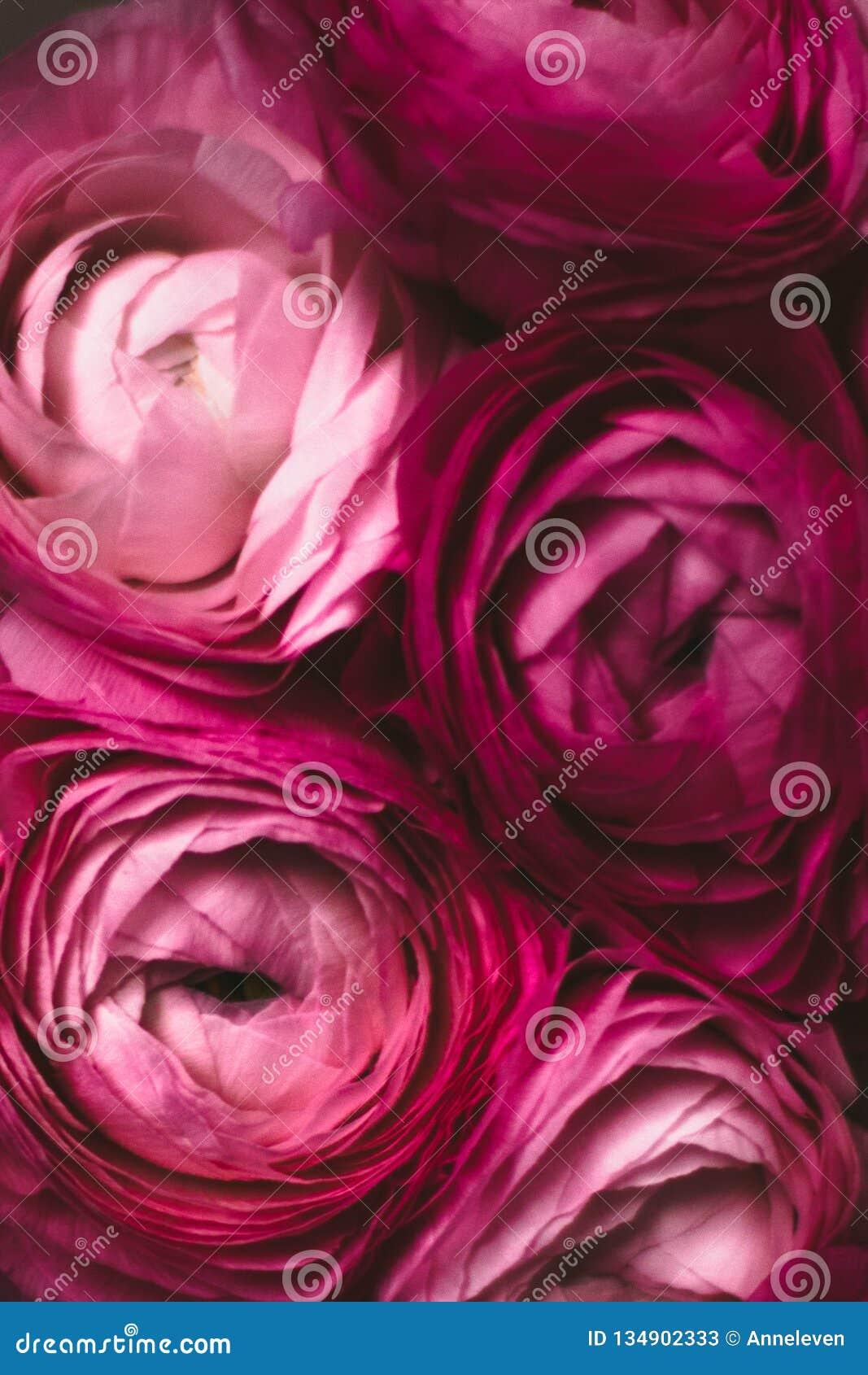 Rosafarbene Blumennahaufnahme - Hochzeit, Feiertag und Blumenhintergrund angeredetes Konzept