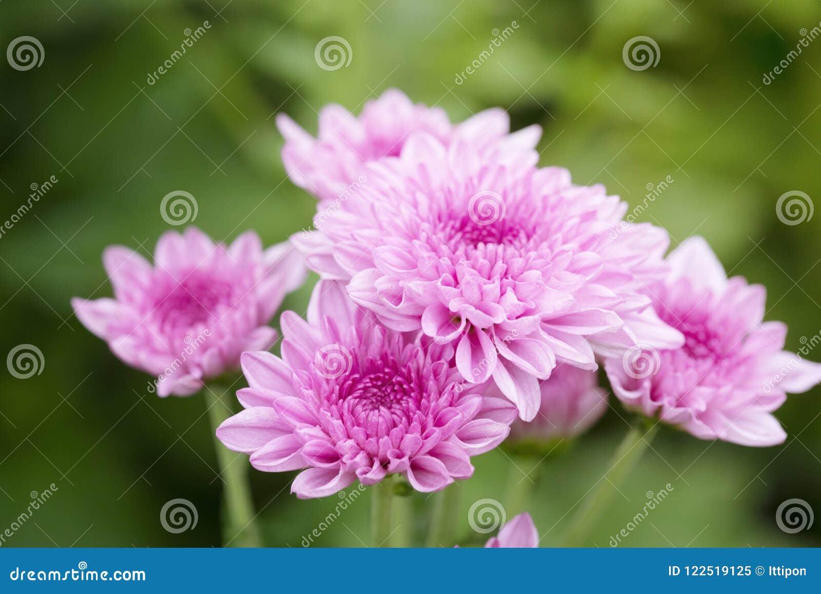 Rosafarbene Chrysanthemeblumen
