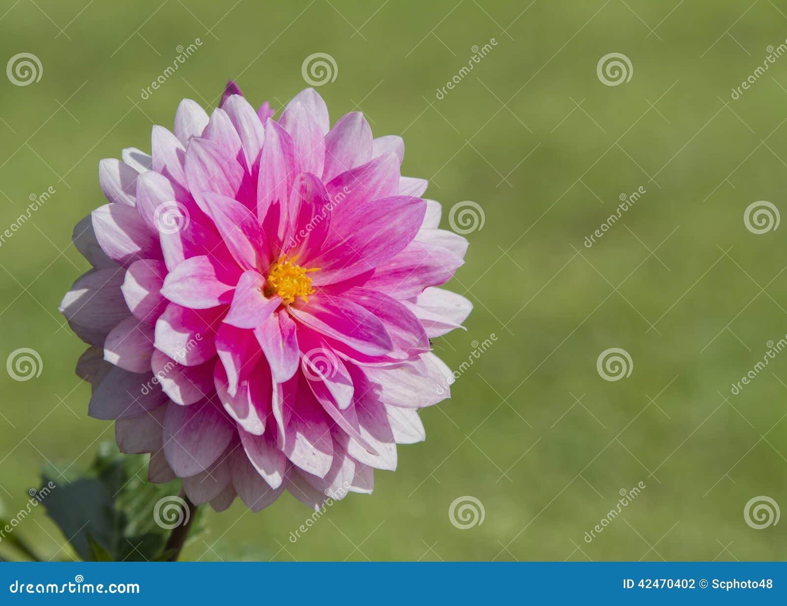 Rosafarbene Dahlieblume