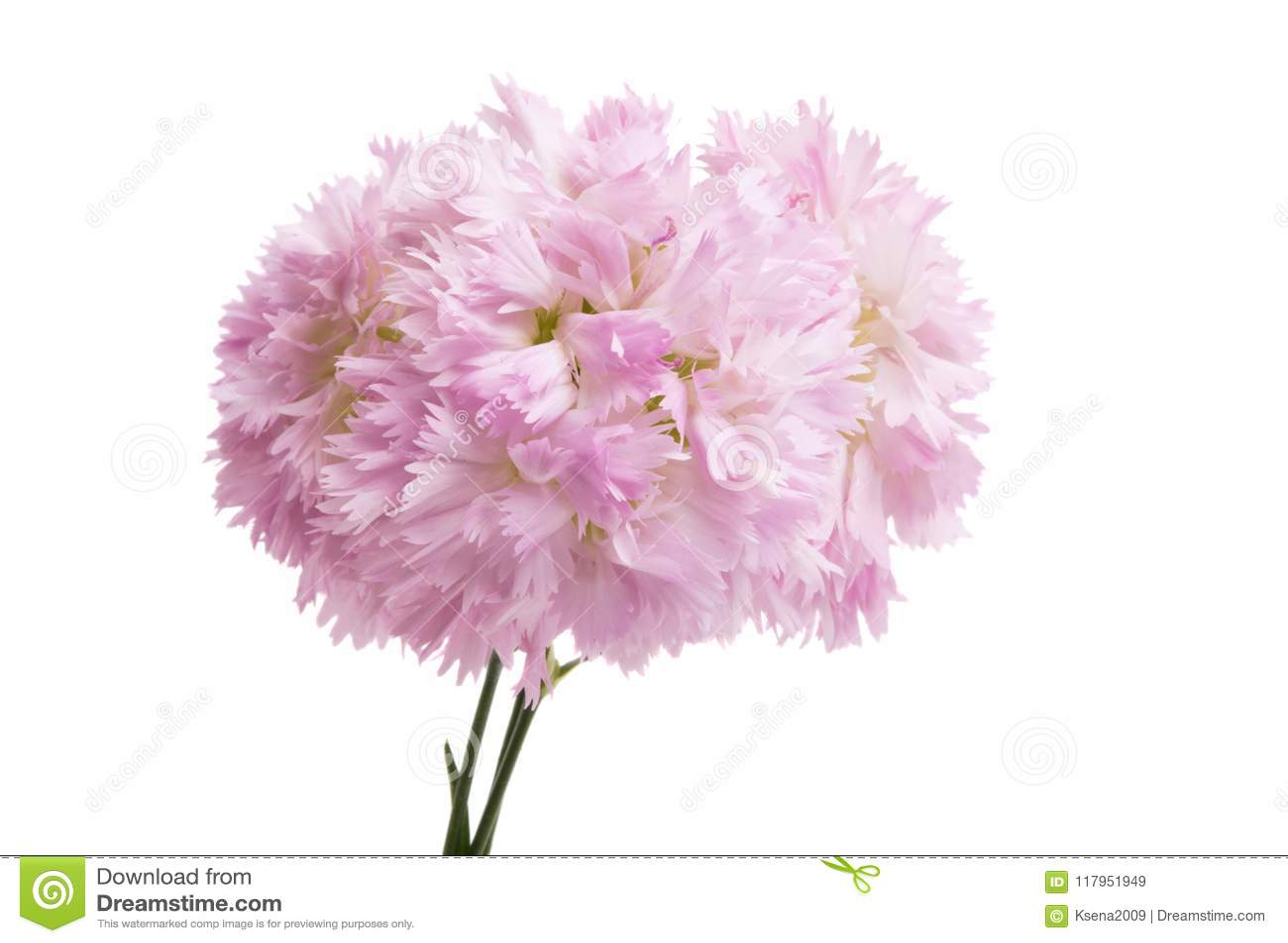 Rosafarbene Gartennelke getrennt