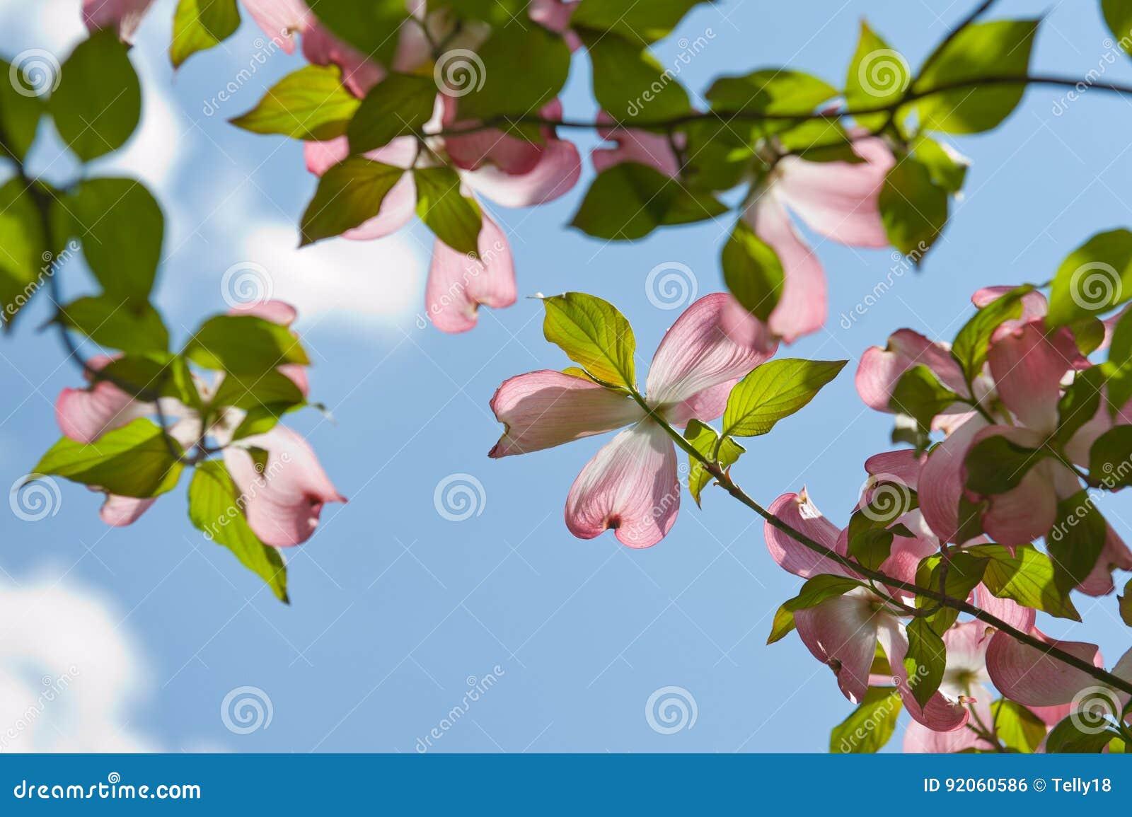 Rosafarbene Hartriegelblüte
