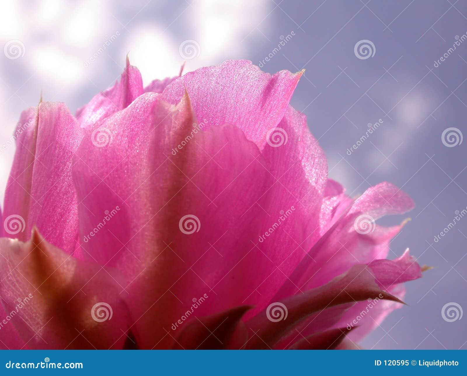 Rosafarbene Kaktus-Blumen-blauer Himmel