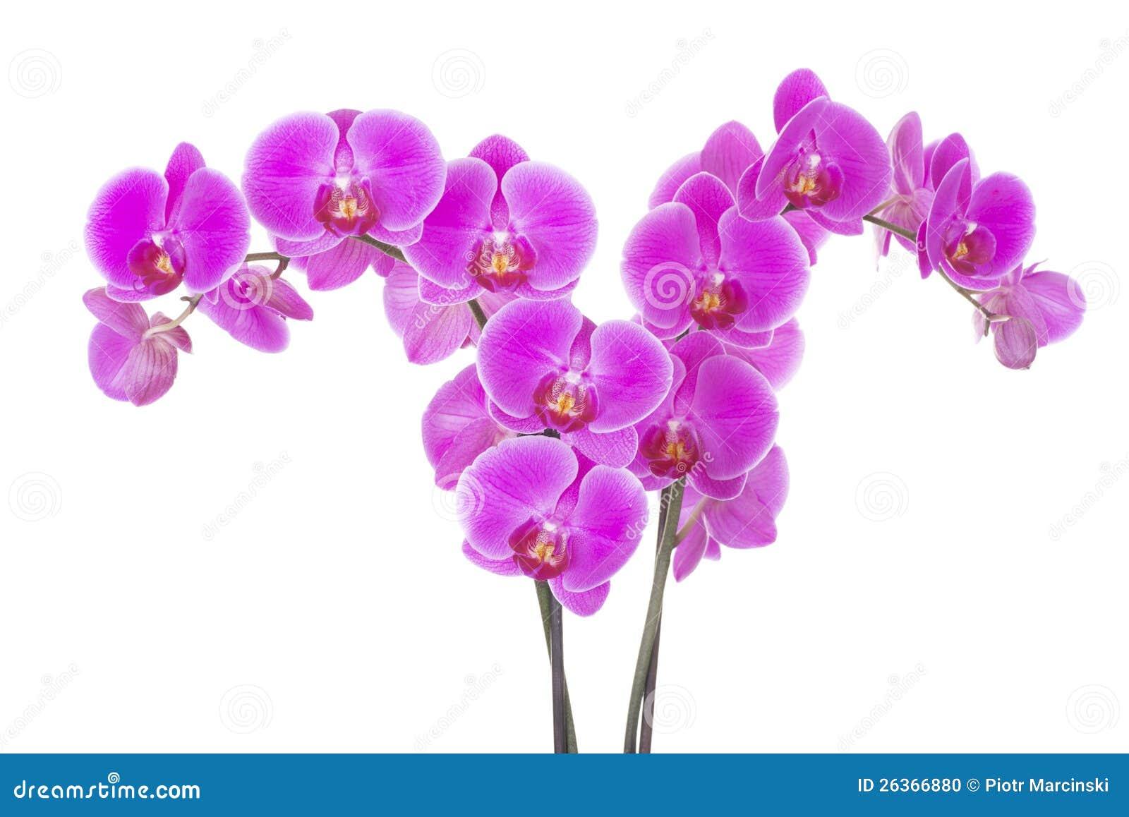 Rosafarbene Orchideeblume