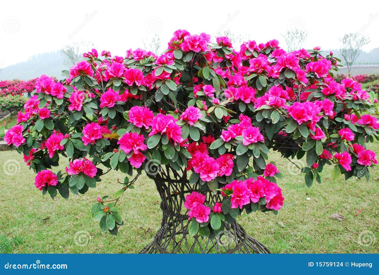 Rosafarbene Pfirsichazaleeblüte