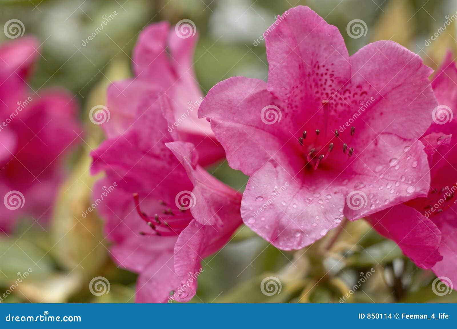 Rosafarbene Rhododendren
