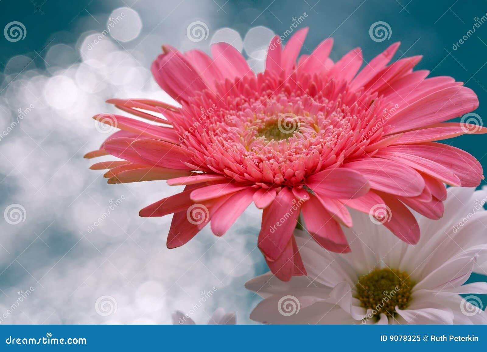 Rosafarbene und weiße Gänseblümchen