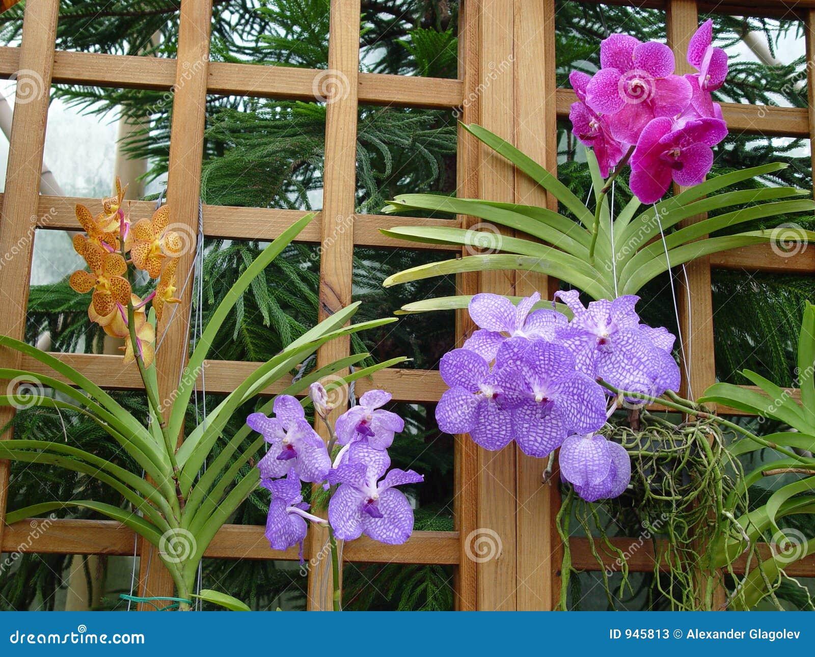 Rosafarbene, violette und gelbe Orchideen