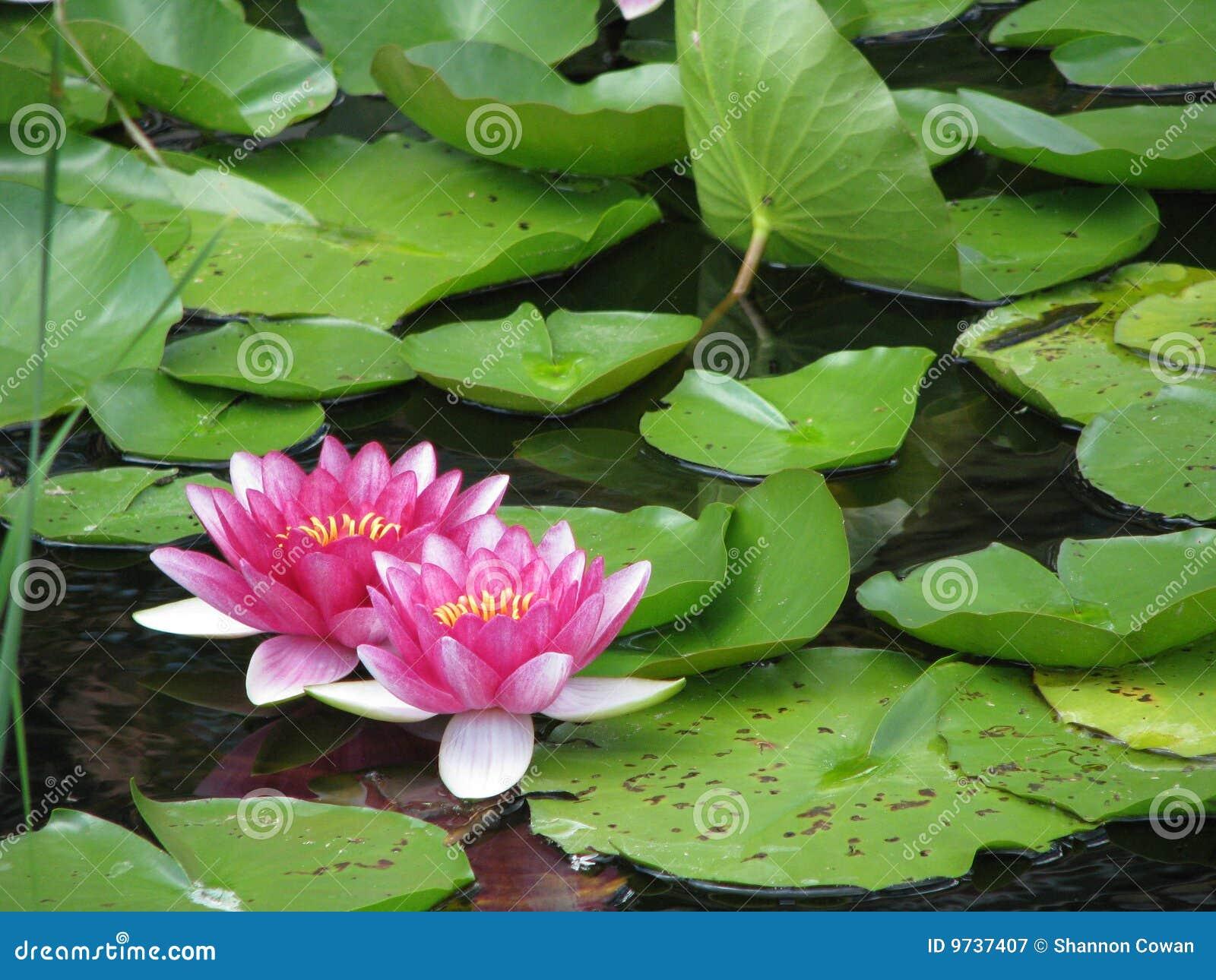 Rosafarbene Wasser-Lilie u. Lilien-Auflagen