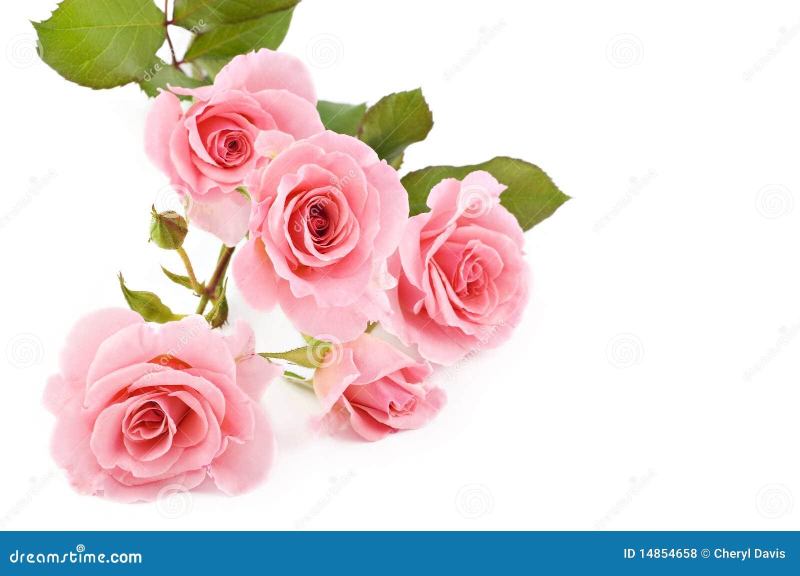 Розы цветы на белом фоне
