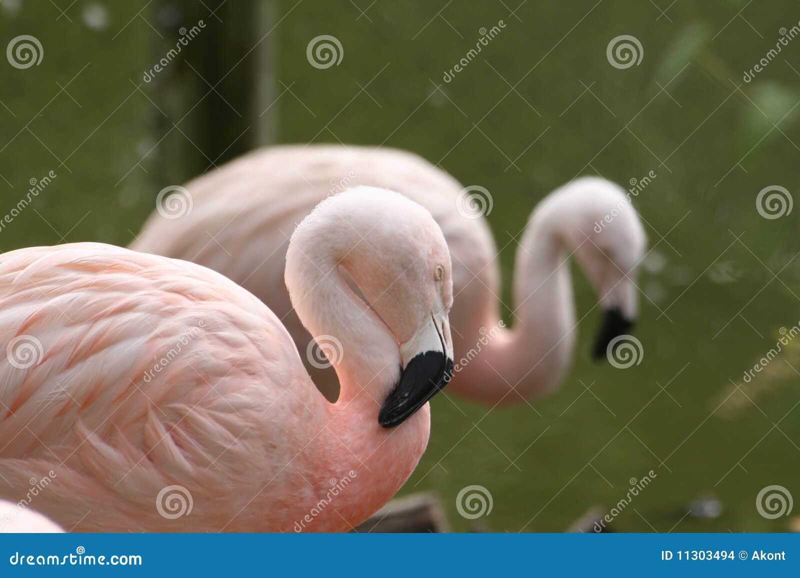 Rosafarbenes Flamingoschlafen