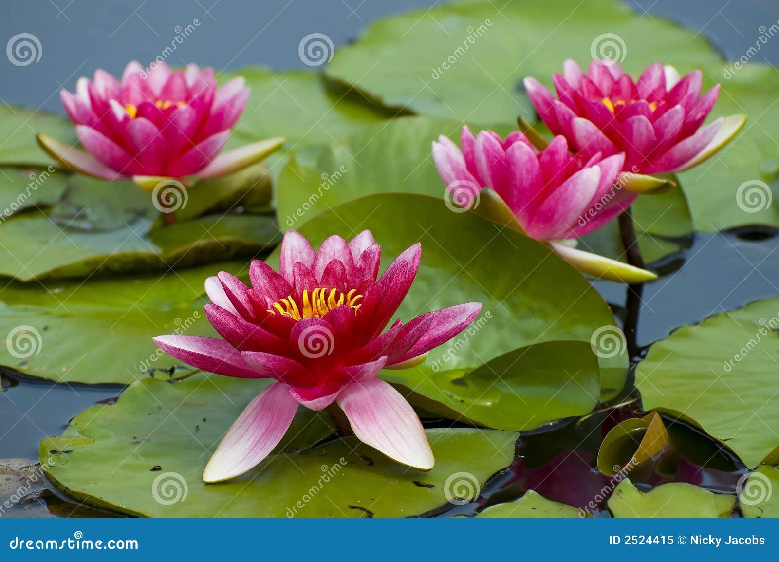 Rosafarbenes tropisches waterlily