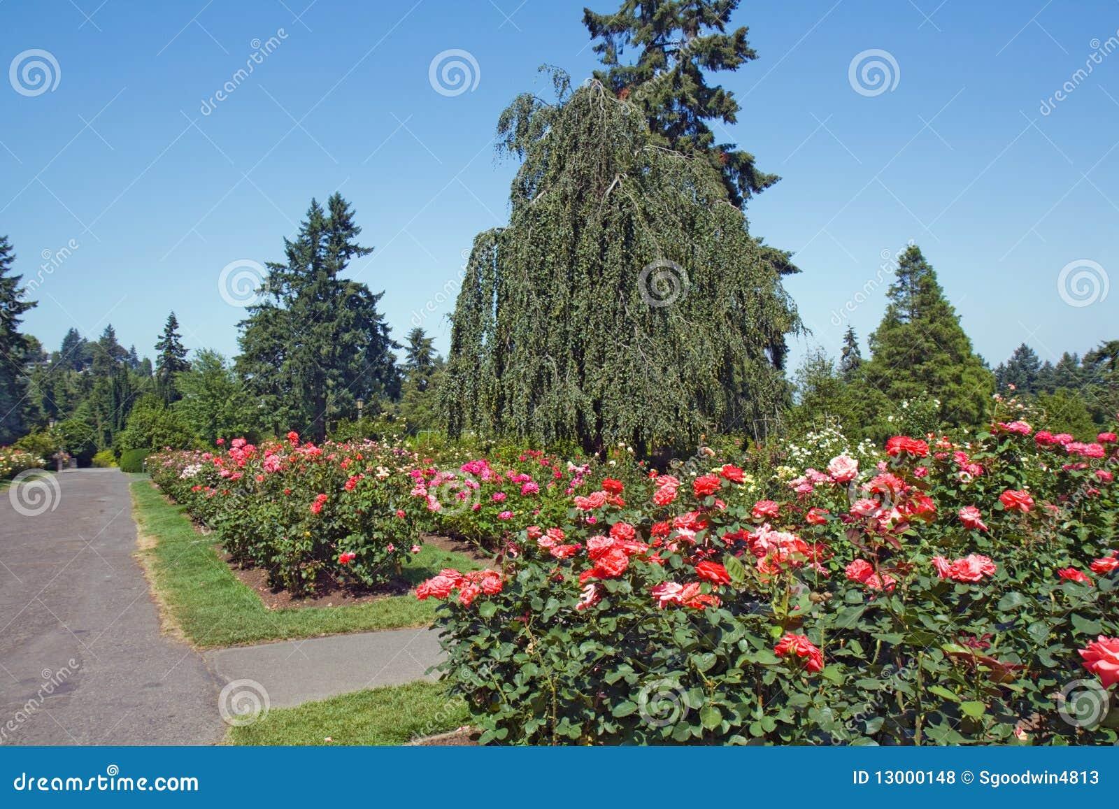 Rosas rboles de hoja perenne y camino de asfalto fotos for Arboles de jardin de hoja perenne