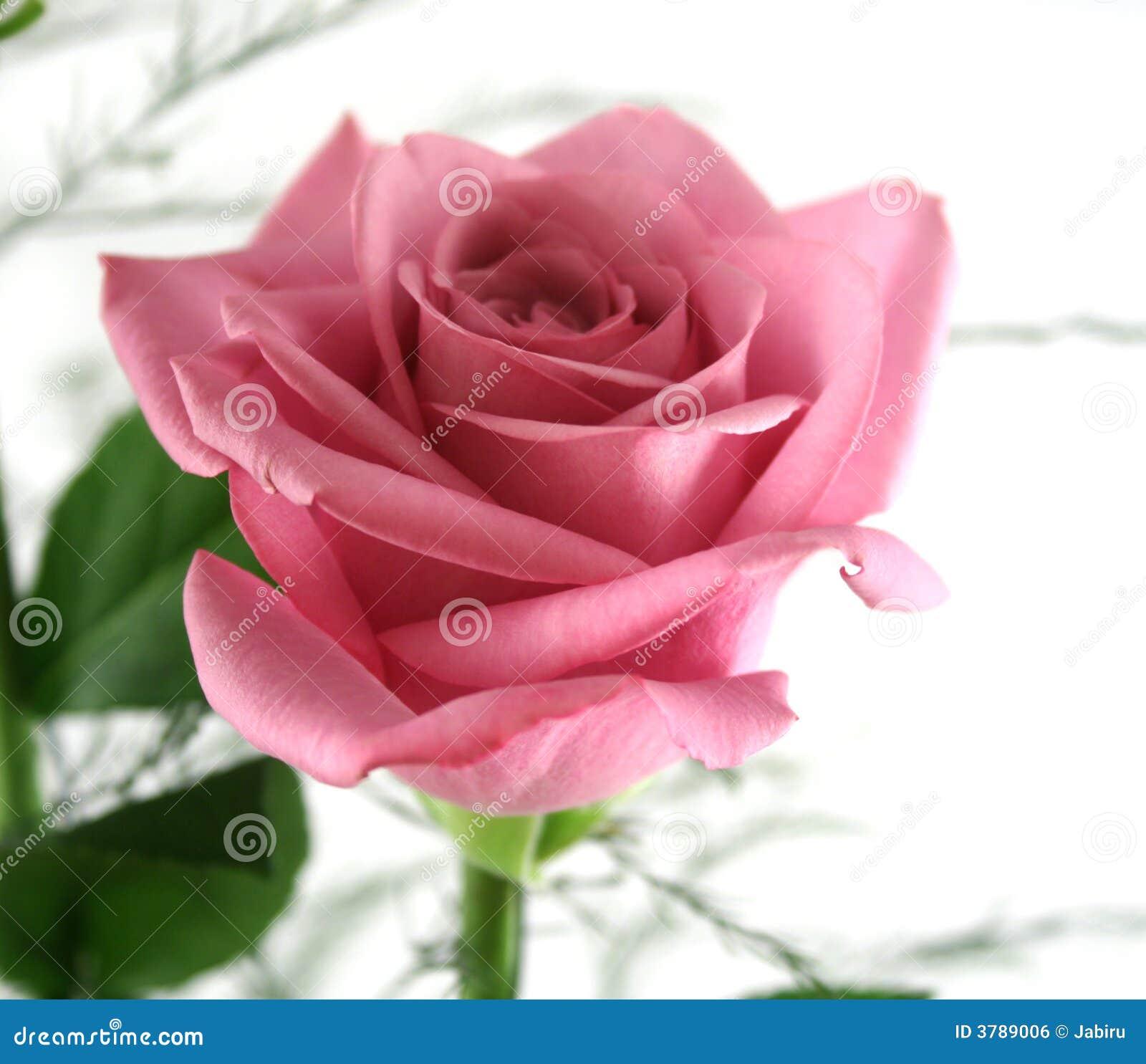 Rosas 3 do presente