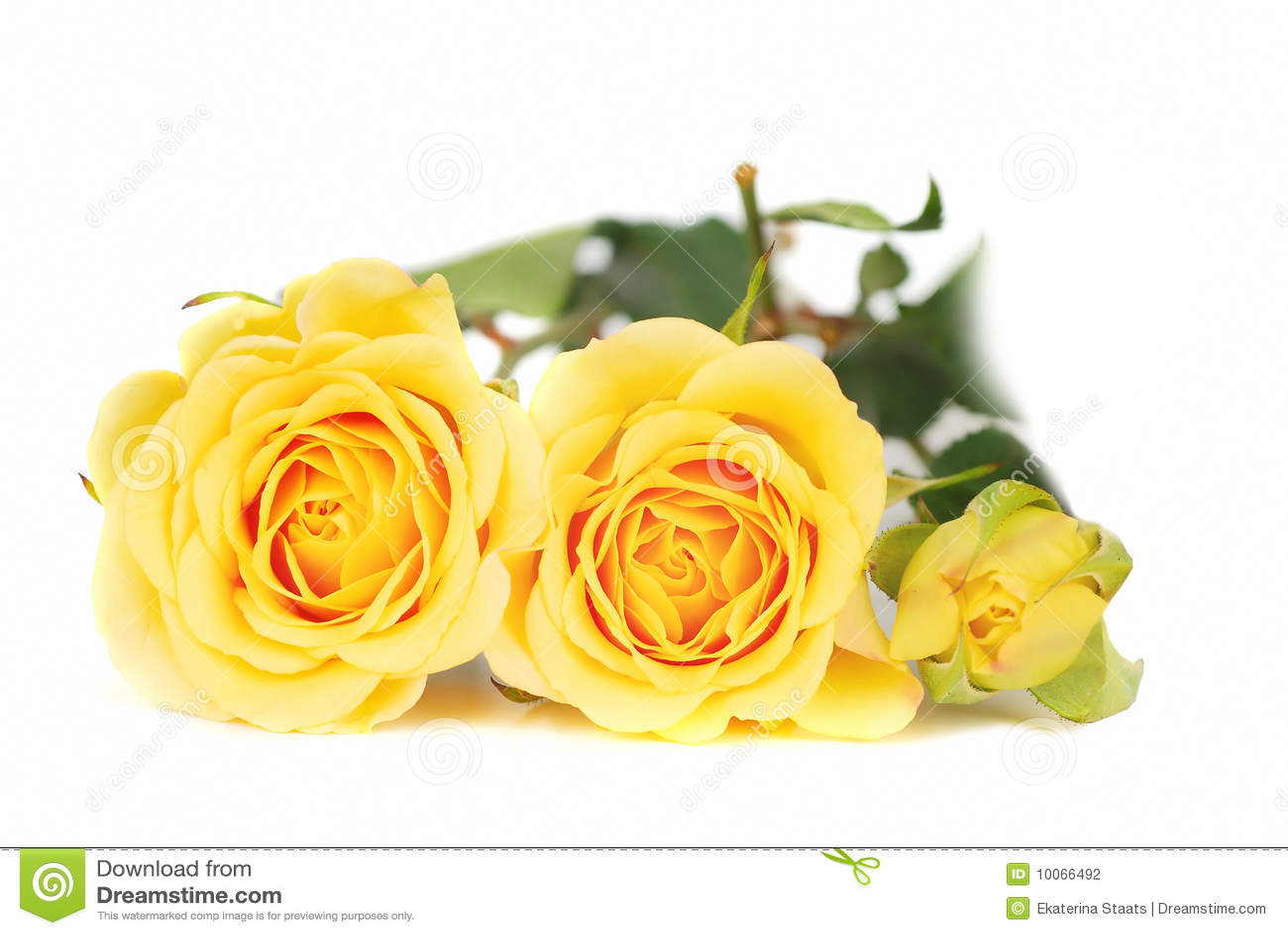 Rosas amarelas.