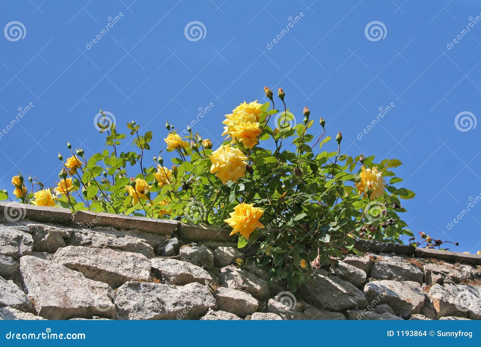Image result for imagem de rosas amarelas