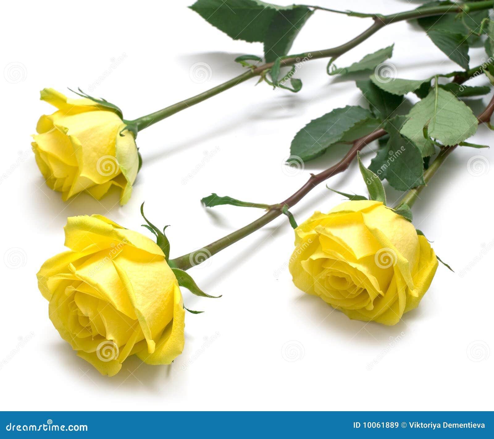 Rosas amarelas com folhas verdes