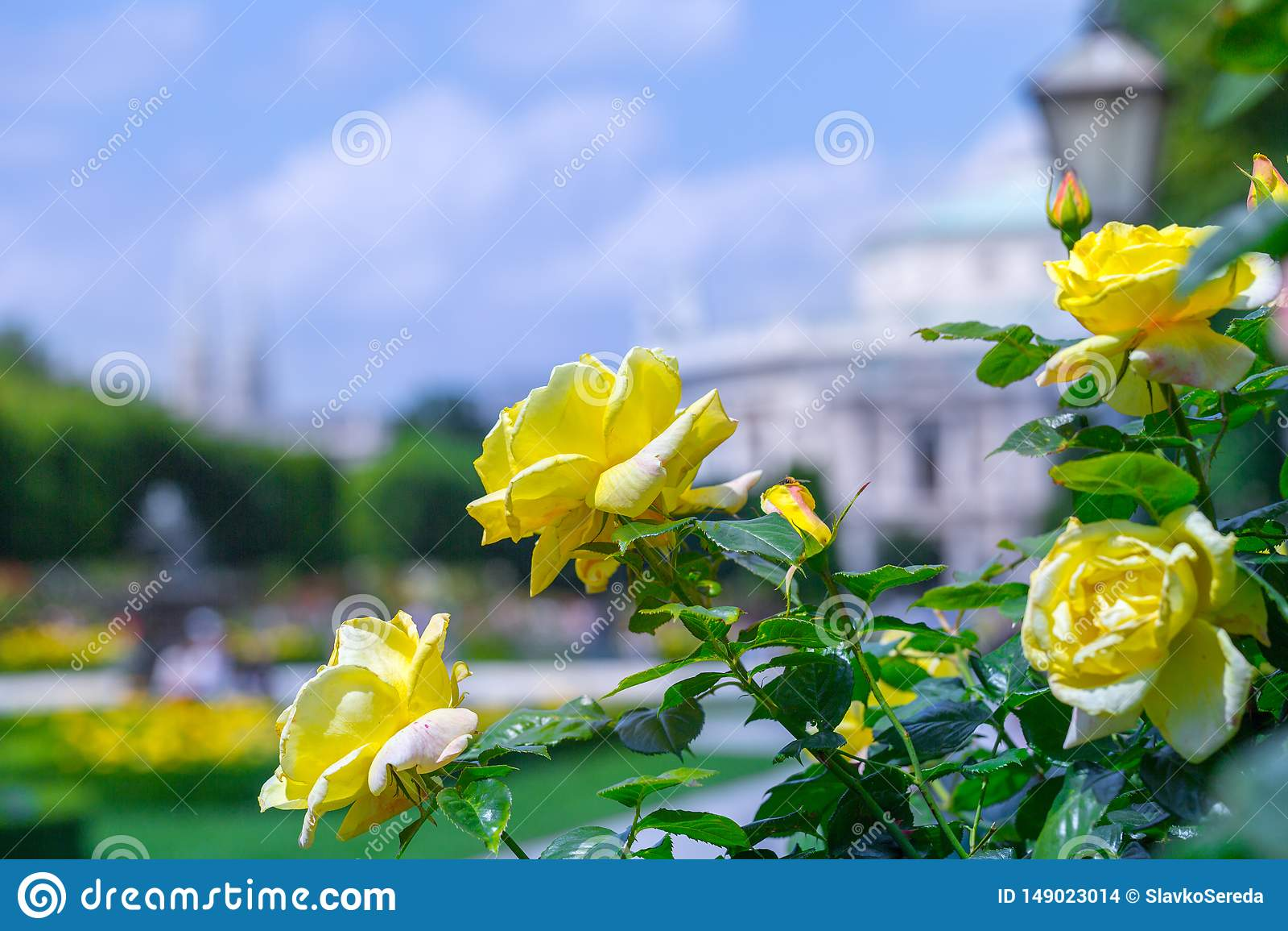 Rosas amarillas florecientes enormes en rosaleda Volksgarten( people' s park) en Viena, Austria