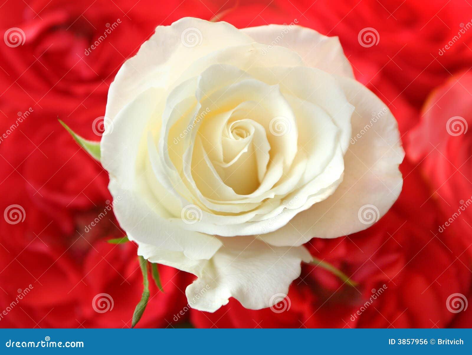 Rosas Blancas Imagen de archivo libre de regalías - Imagen: 3857956