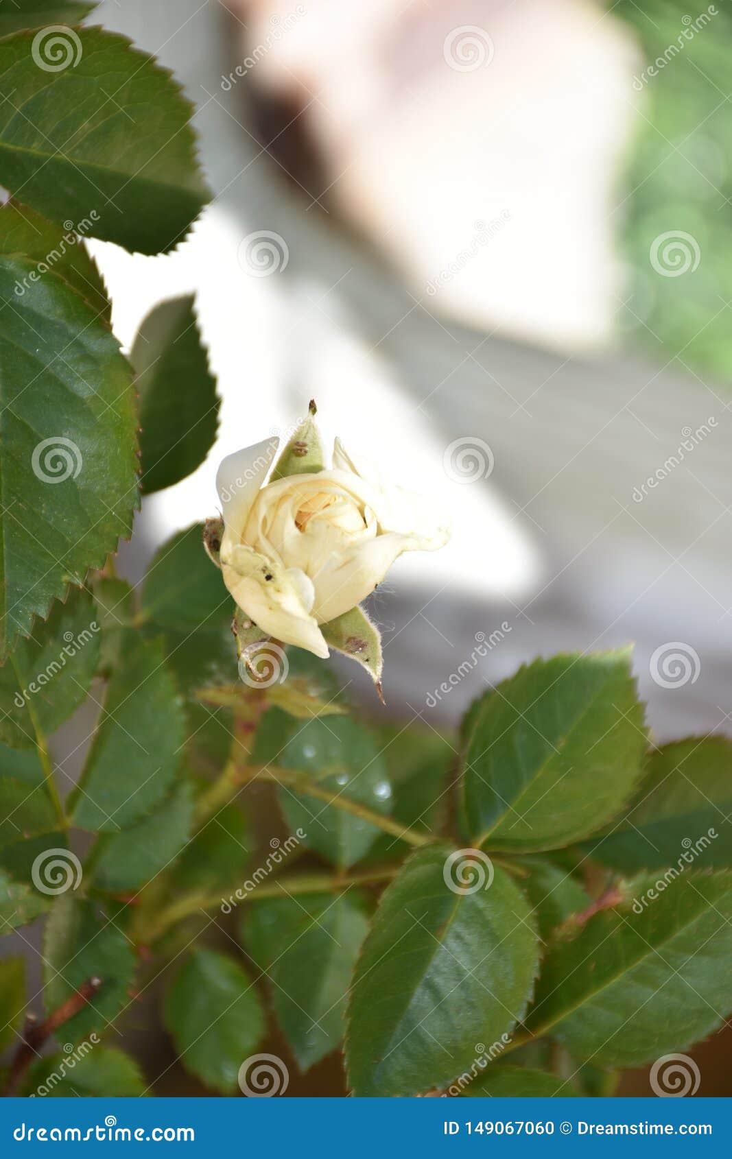 Rosas blancas y hojas