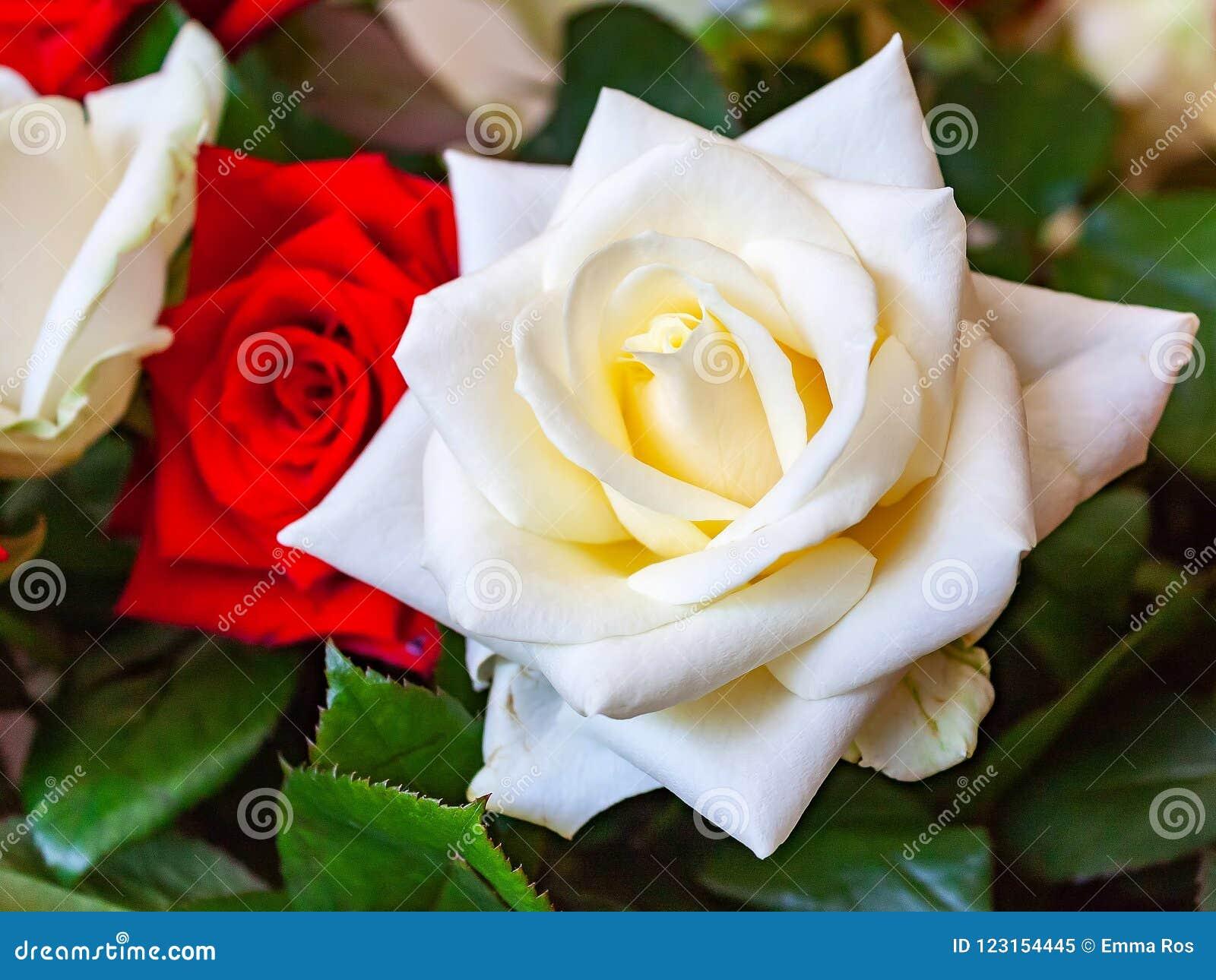 Rosas Blancas Y Rojas Hermosas Imagen De Archivo Imagen De Ramo
