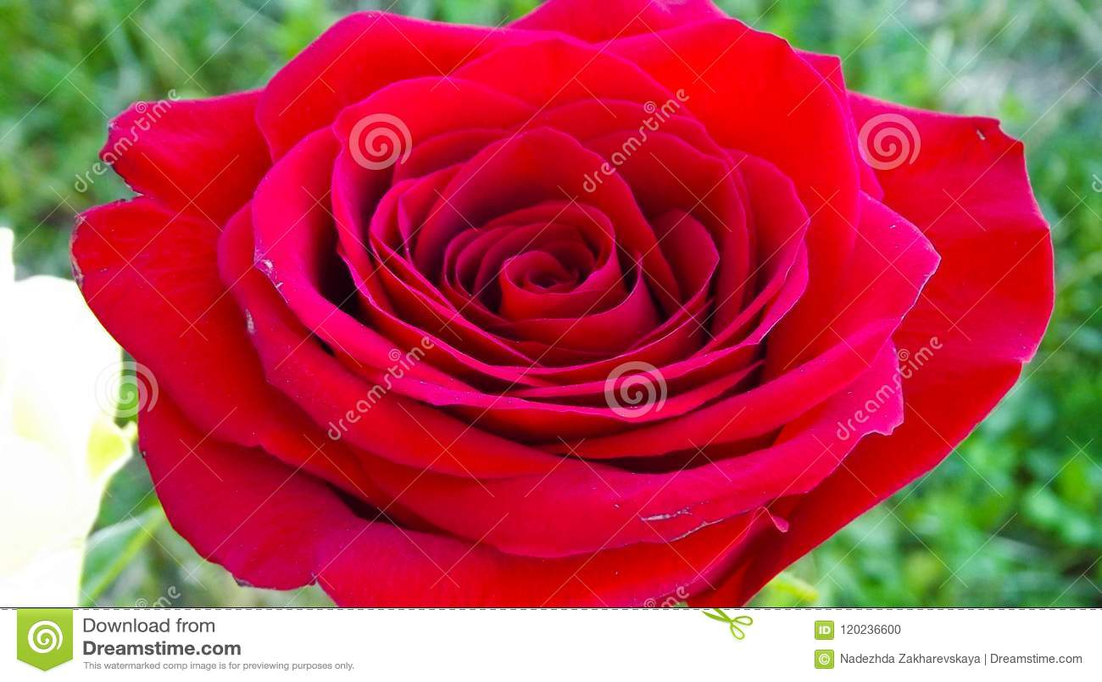 Rosas bonitas no jardim