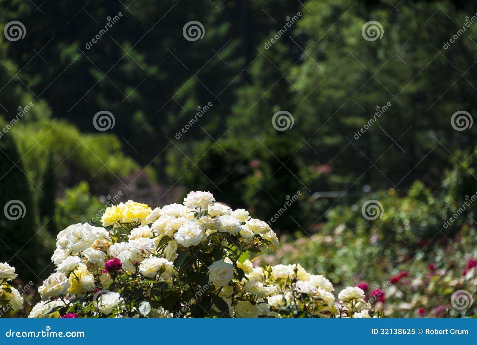 jardim rosas amarelas : jardim rosas amarelas:Rosas Brancas E Amarelas No Jardim Foto de Stock Royalty Free – Imagem