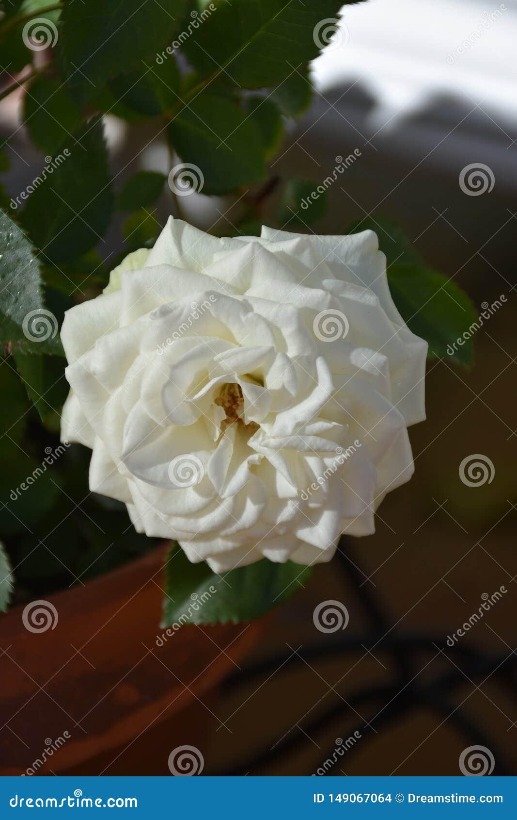 Rosas brancas e folhas