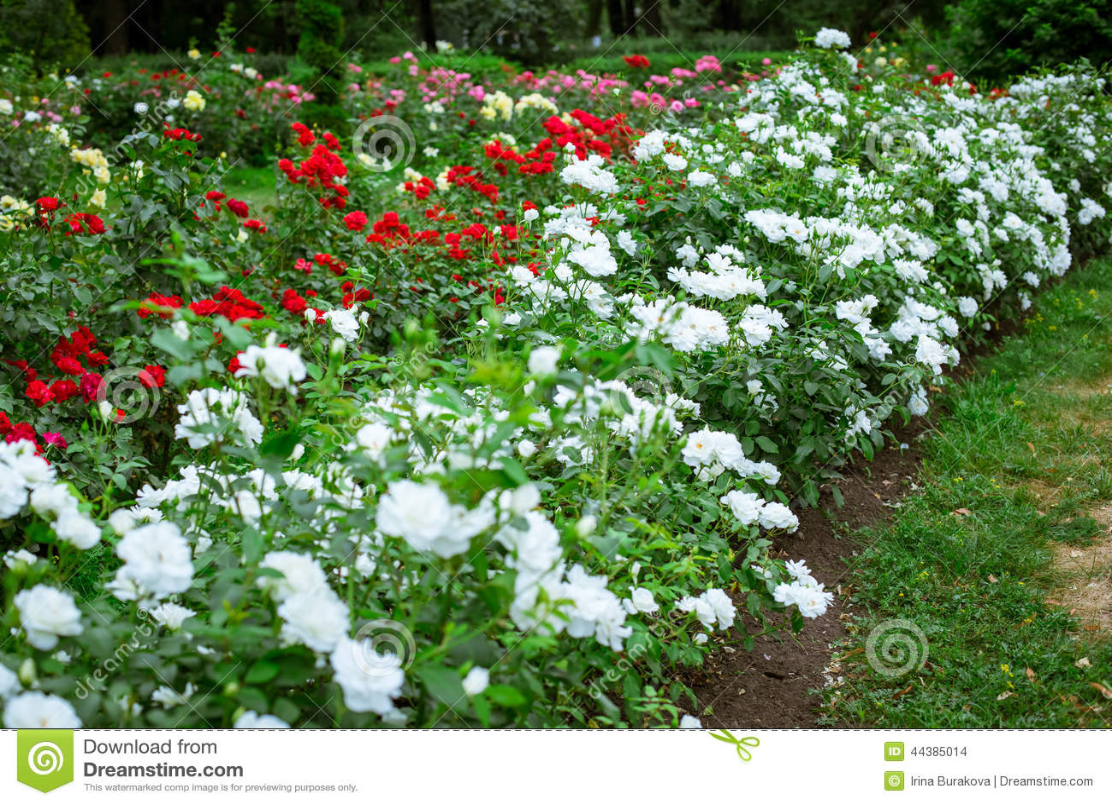 jardim rosas vermelhas:Rosas Brancas E Vermelhas No Jardim Foto de Stock – Imagem: 44385014