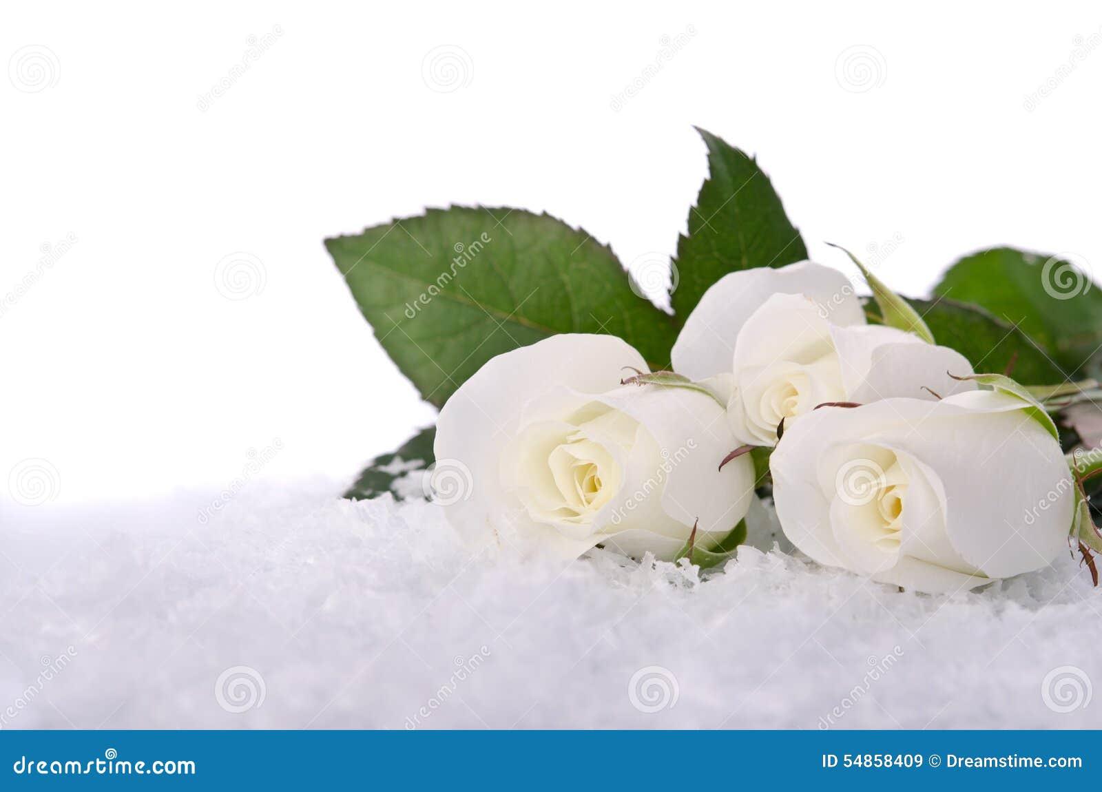 Rosas brancas na neve