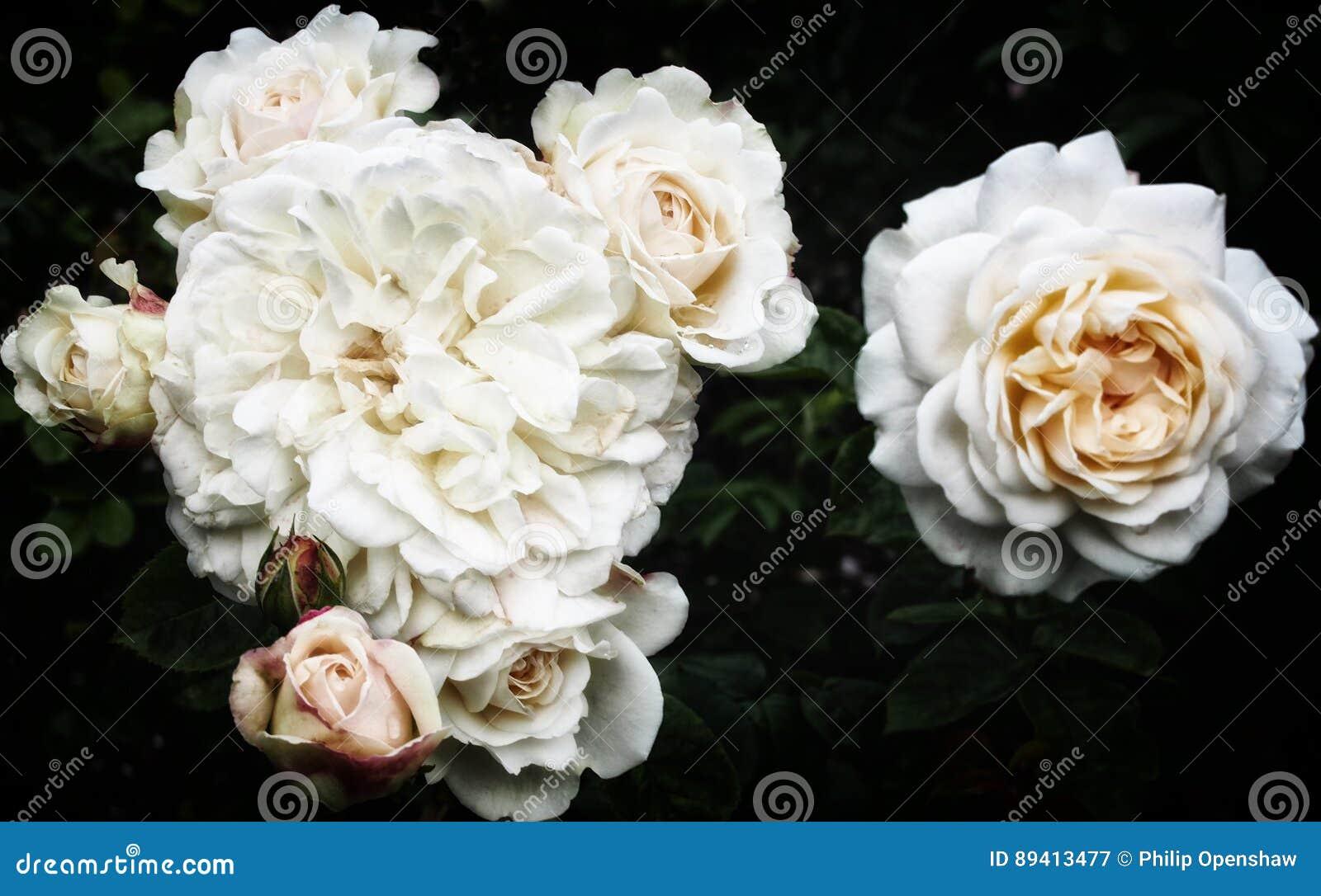 Rosas brancas no fundo escuro