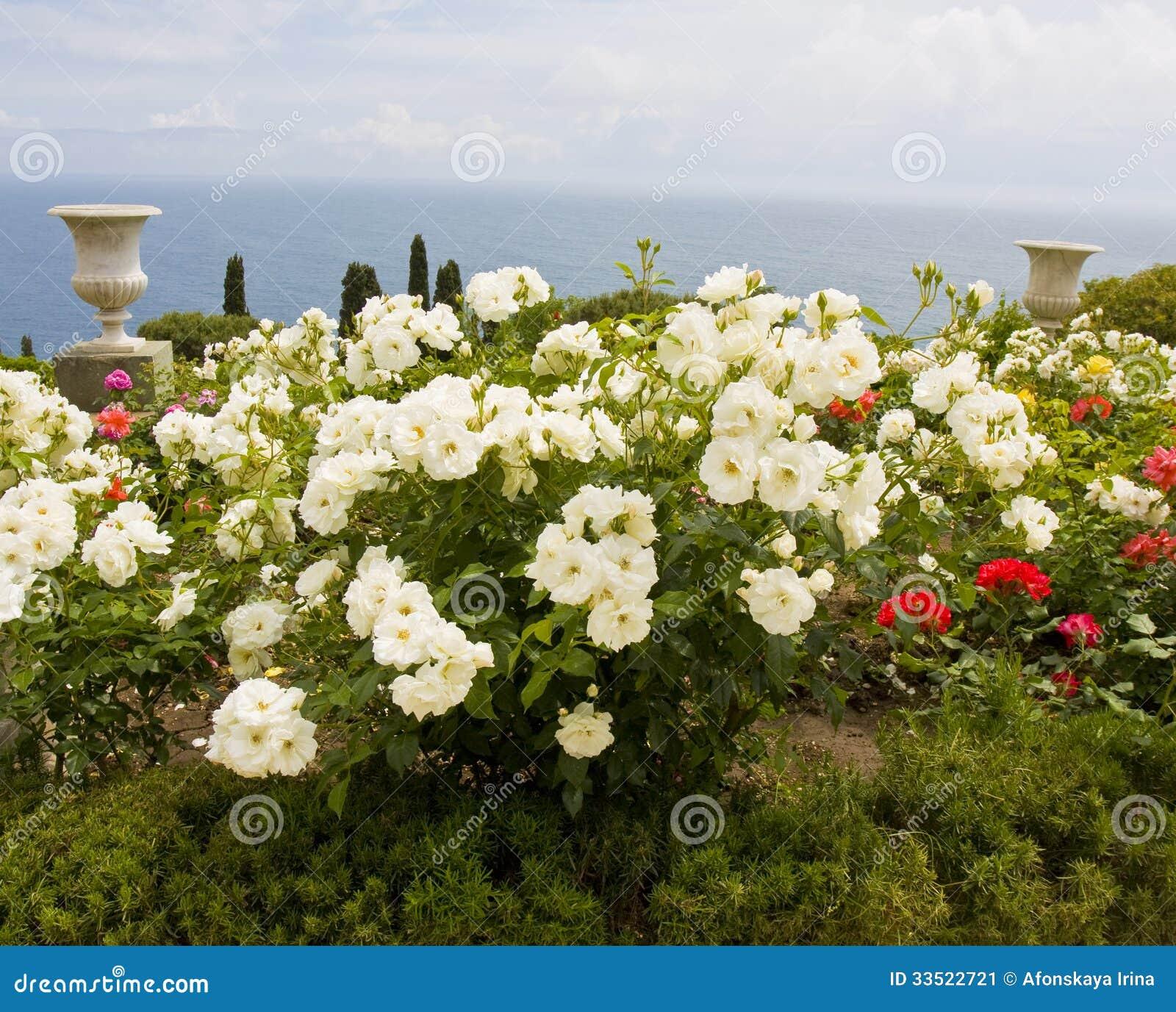 flores jardim do mar:Rosas brancas no jardim na costa de mar, gravada no parque perto do