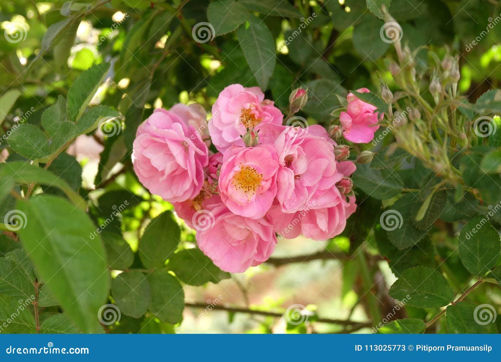 Rosas Bush hermosas en el jardín, rosas para Valentine Day
