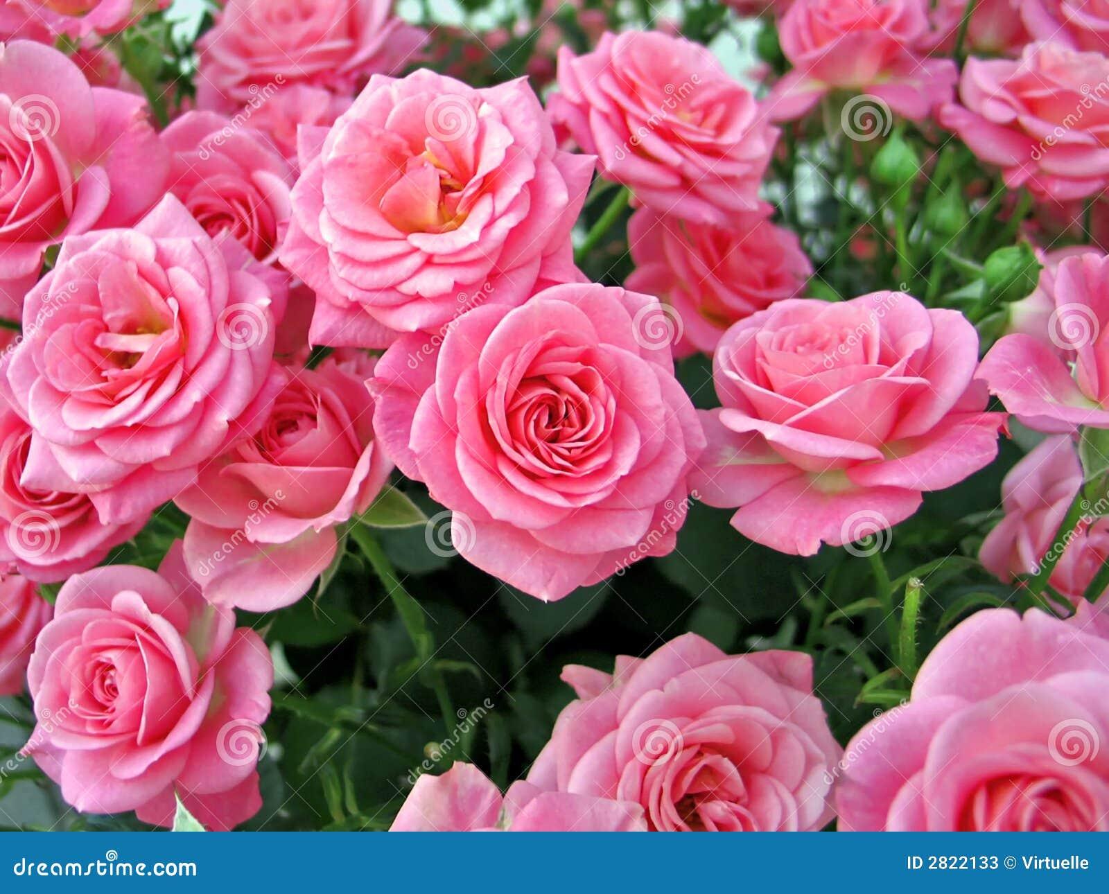 imagens jardim de rosas:Rosas Cor-de-rosa Fotos de Stock – Imagem: 2822133