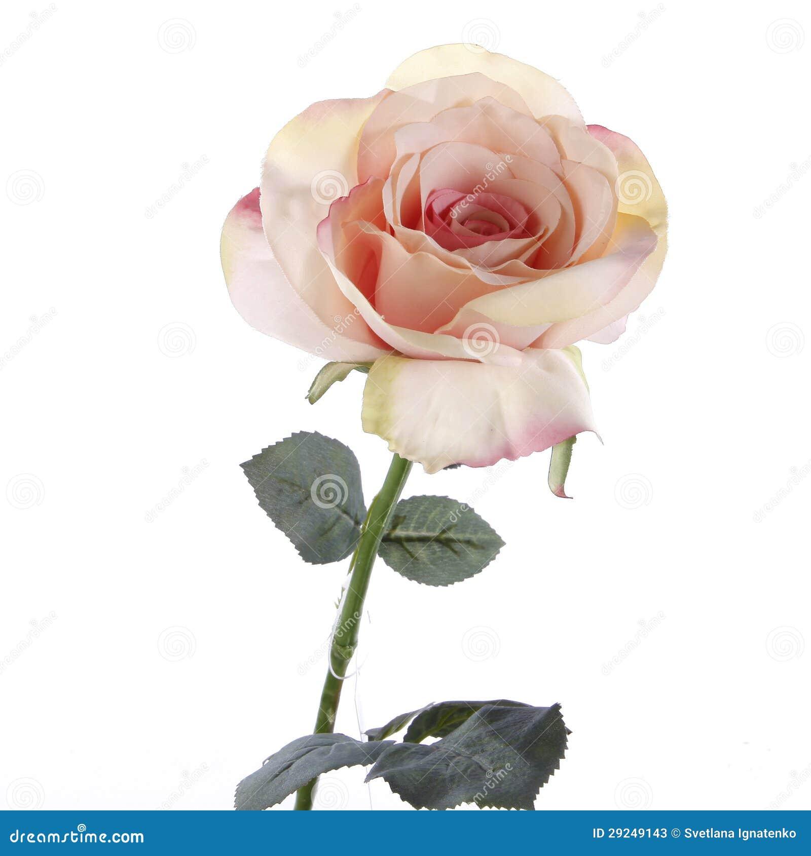 Download Rosas Cor-de-rosa Frescas Em Um Fundo Branco Imagem de Stock - Imagem de mola, se: 29249143