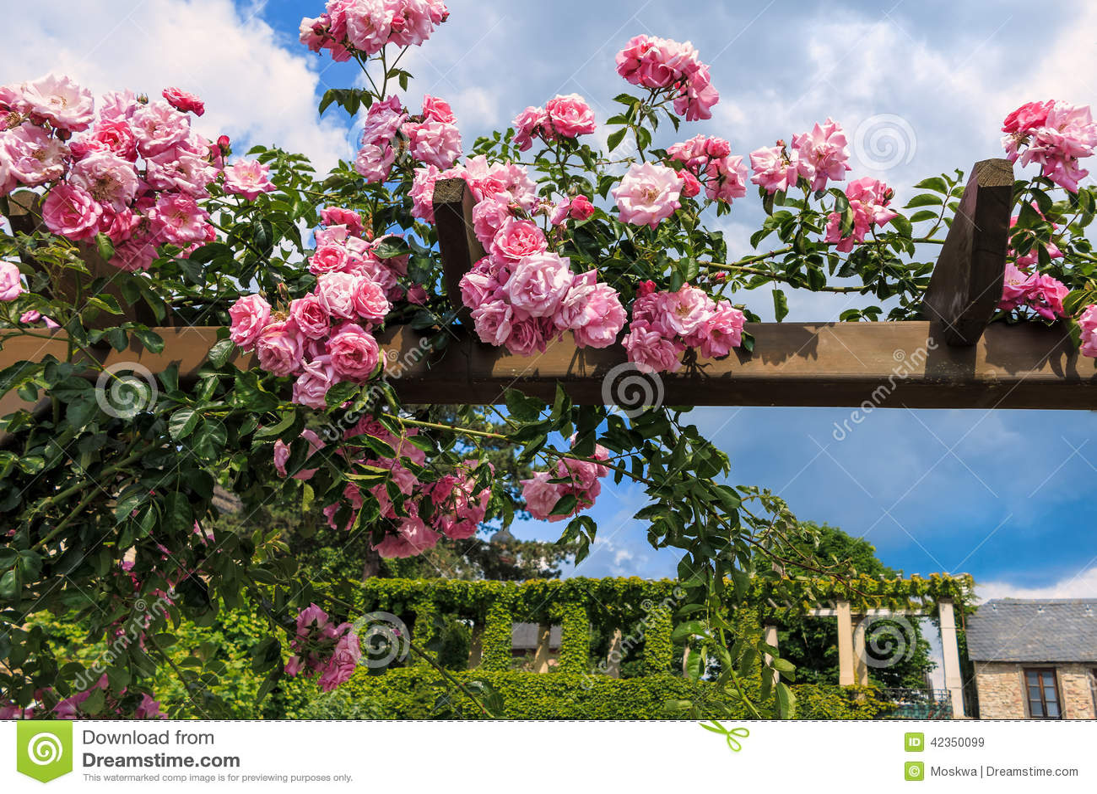 Rosas de escalada corderosa no jardim do castelo de Eltville am