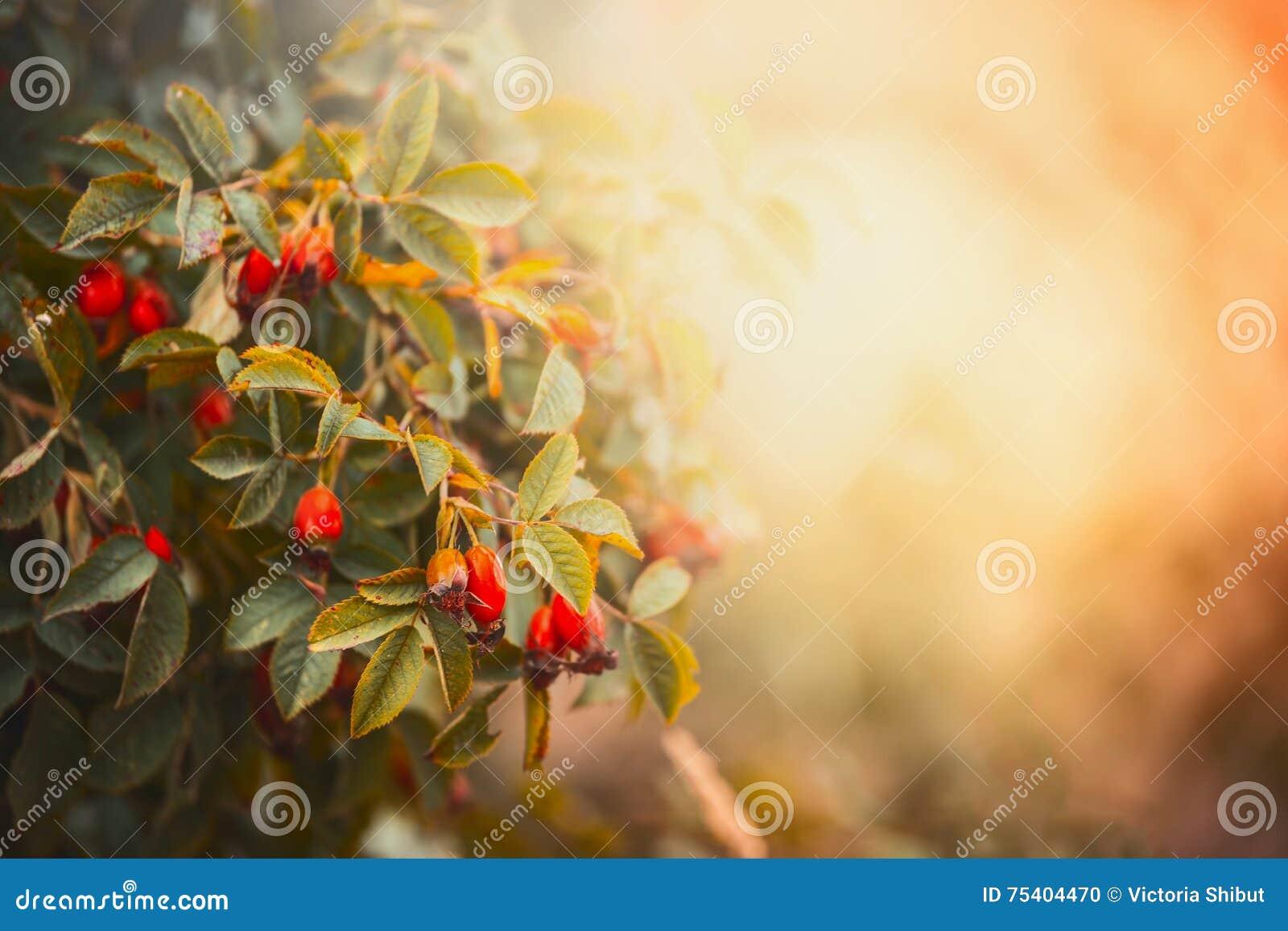 Rosas de perro con las frutas y las bayas rojas en la puesta del sol en jardín o parque Naturaleza bonita del otoño