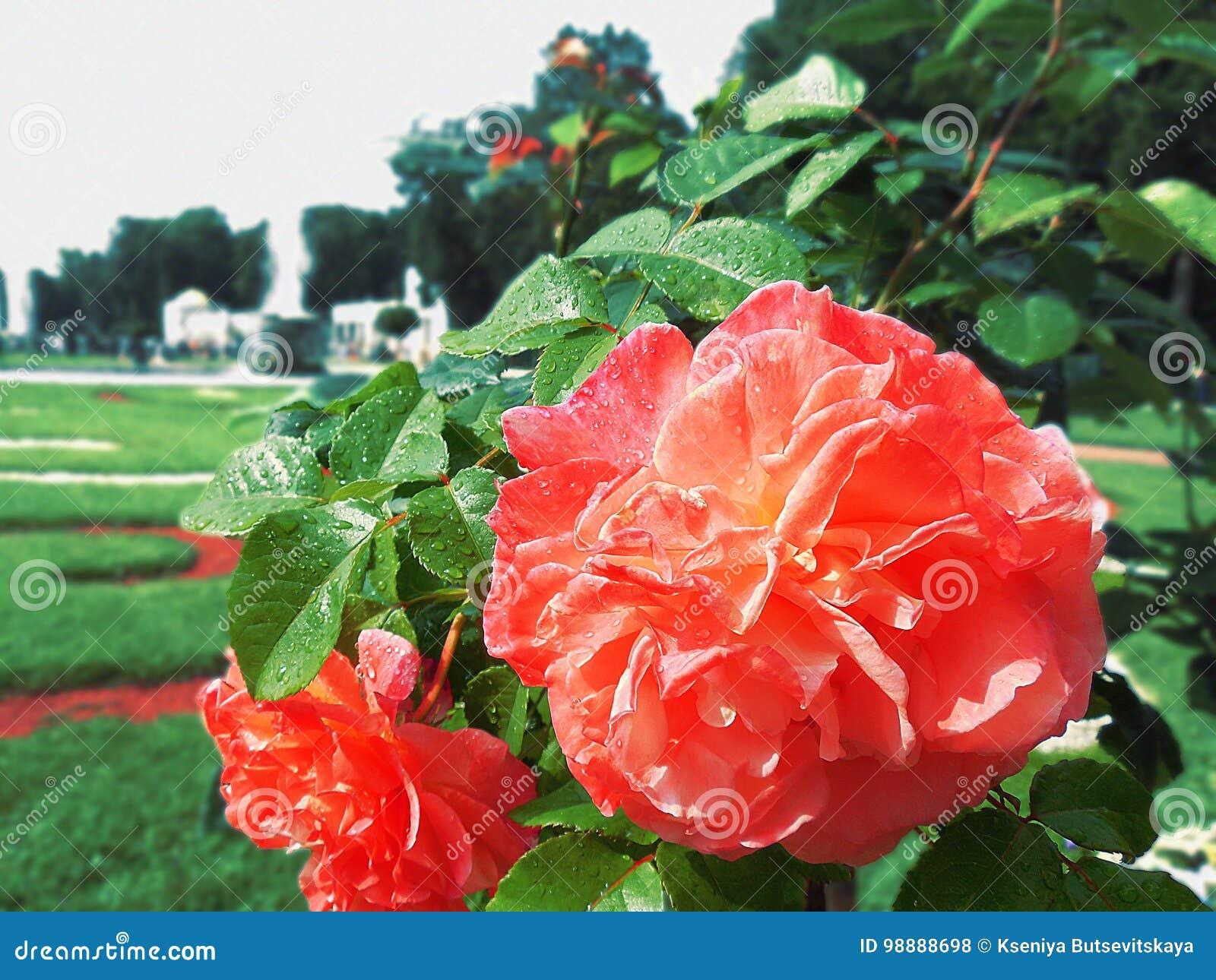 Rosas de Peterhof