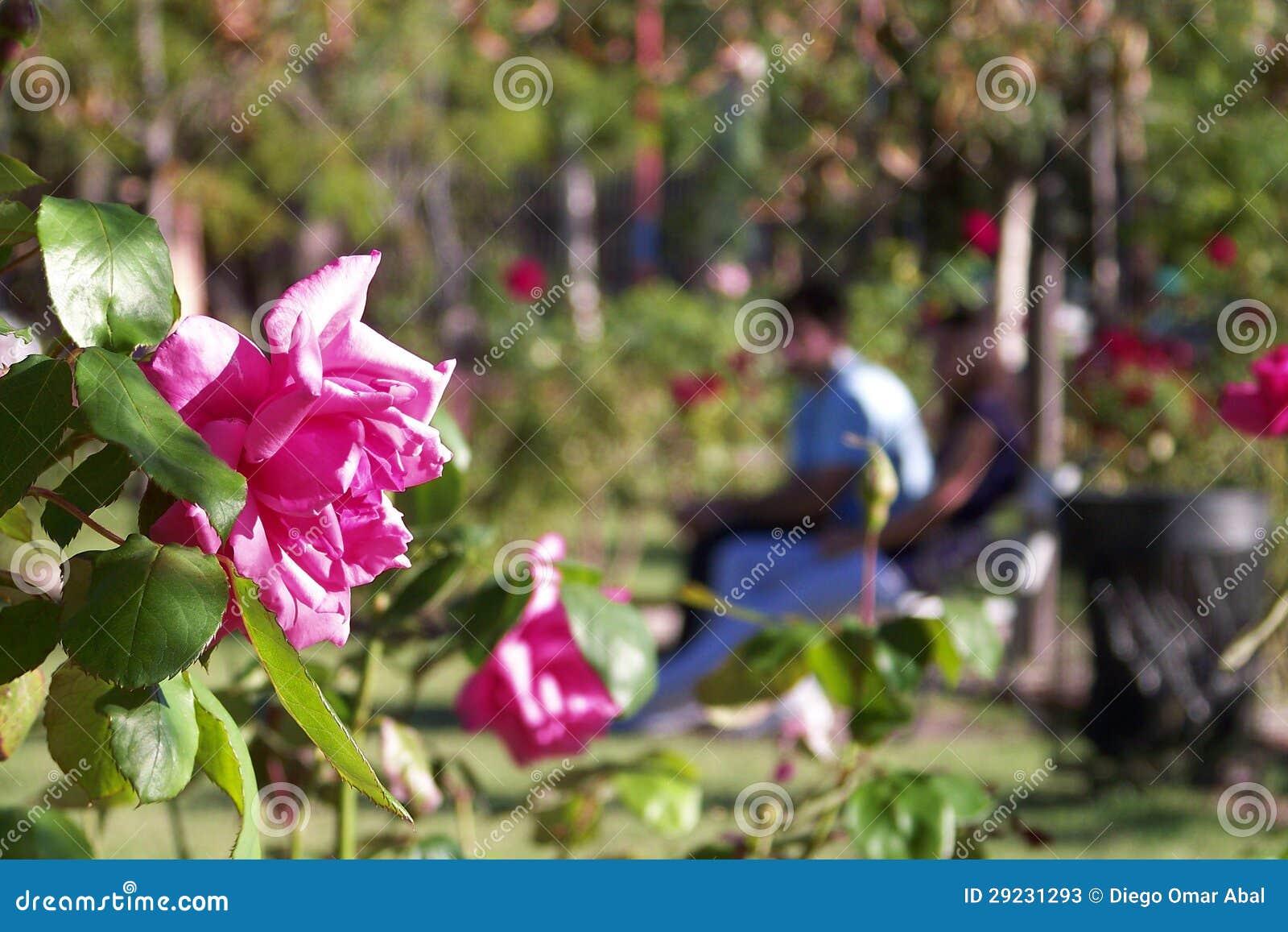 Download Rosas e um par amantes imagem de stock. Imagem de ajardinar - 29231293
