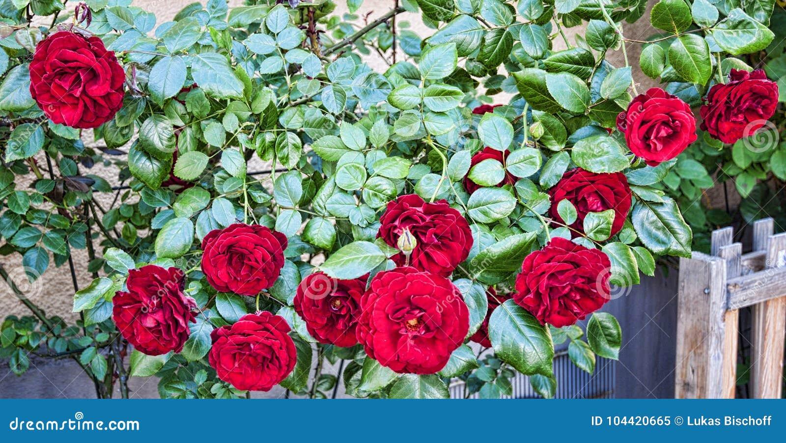 Rosas en jardín