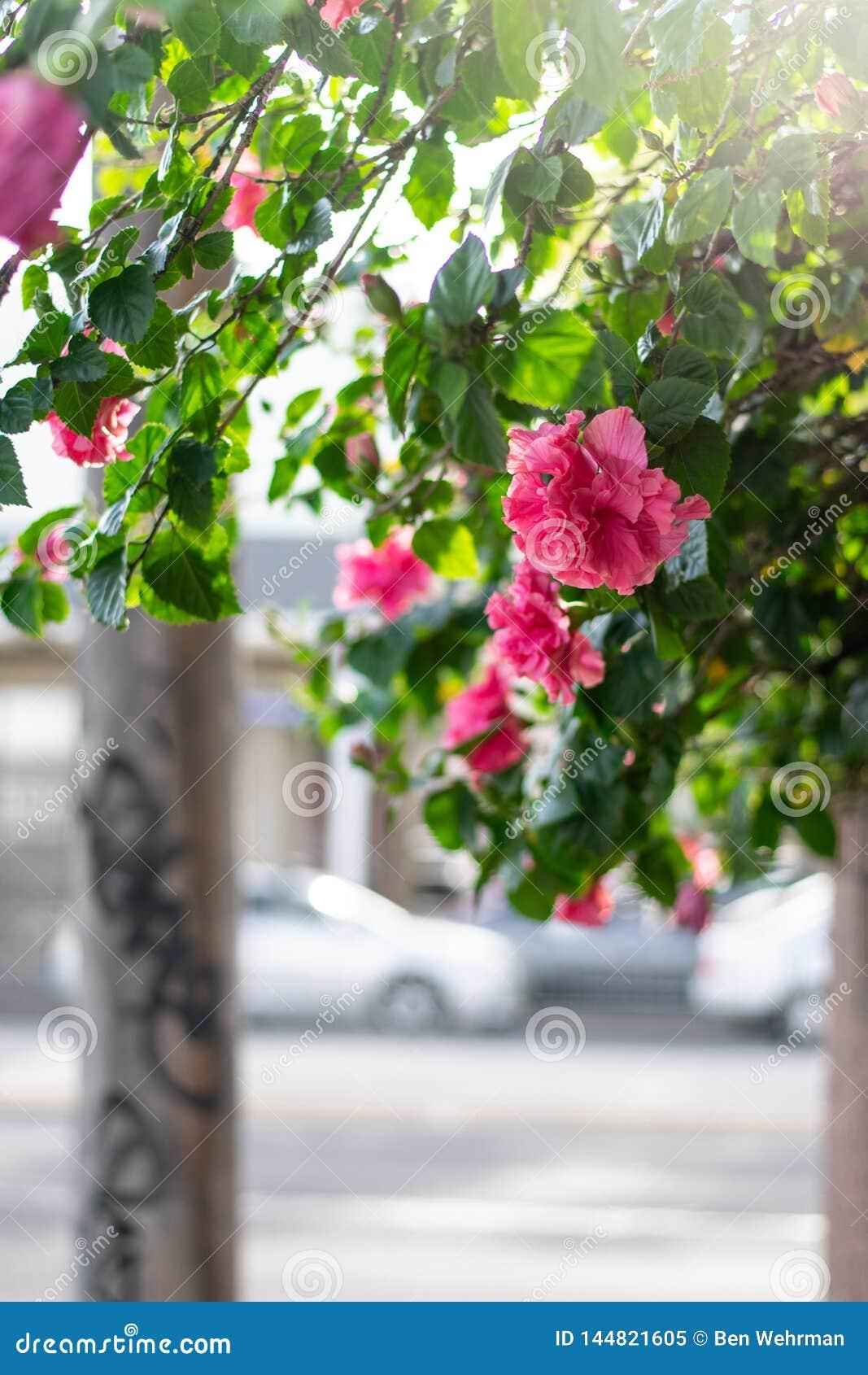 Rosas en una acera de la ciudad