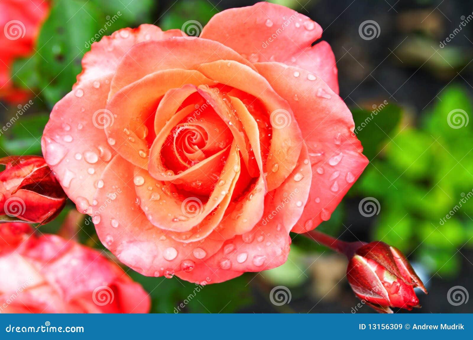 Rosas frescas hermosas im genes de archivo libres de - Rosas rosas hermosas ...