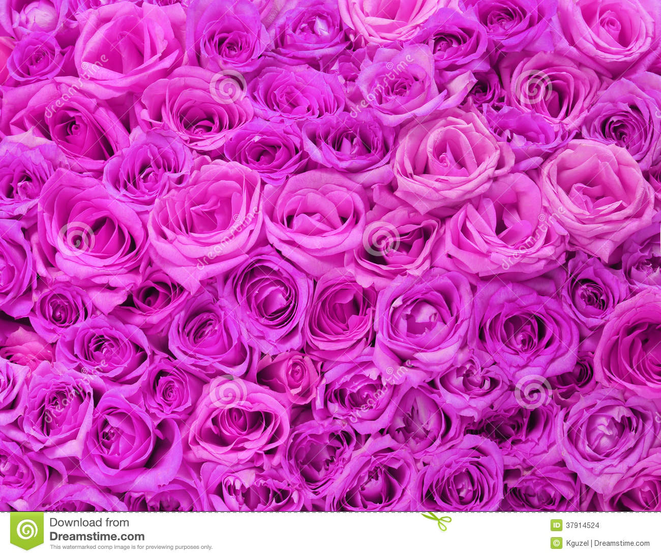 purple roses wallpaper background