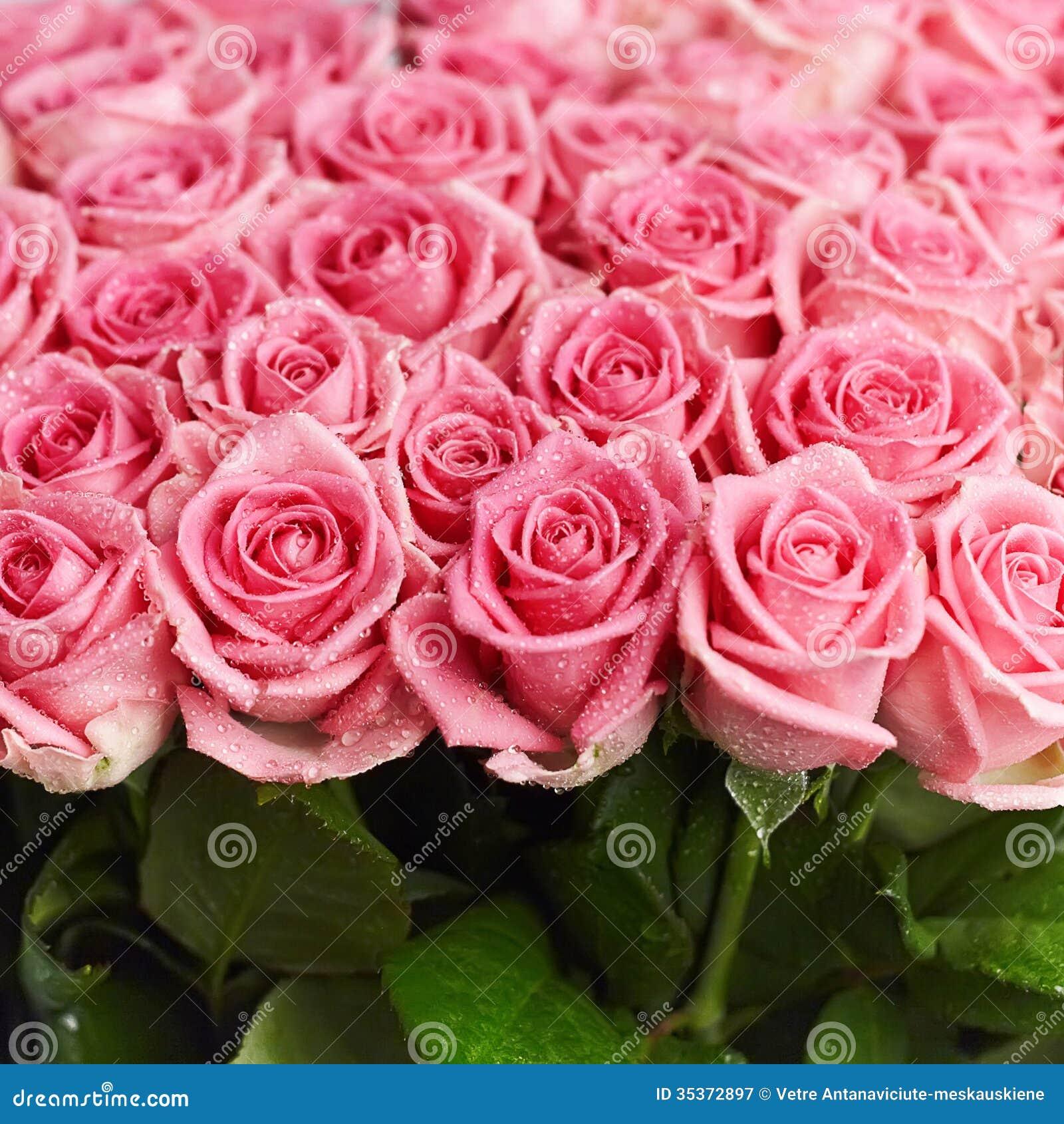 Rosas Naturais Corderosa Fotografia de Stock Royalty Free  Imagem