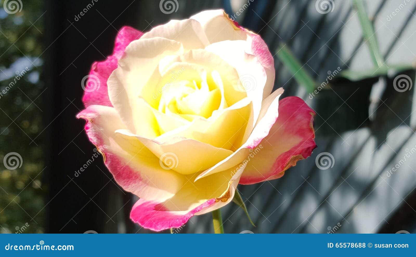 Rosas no verão