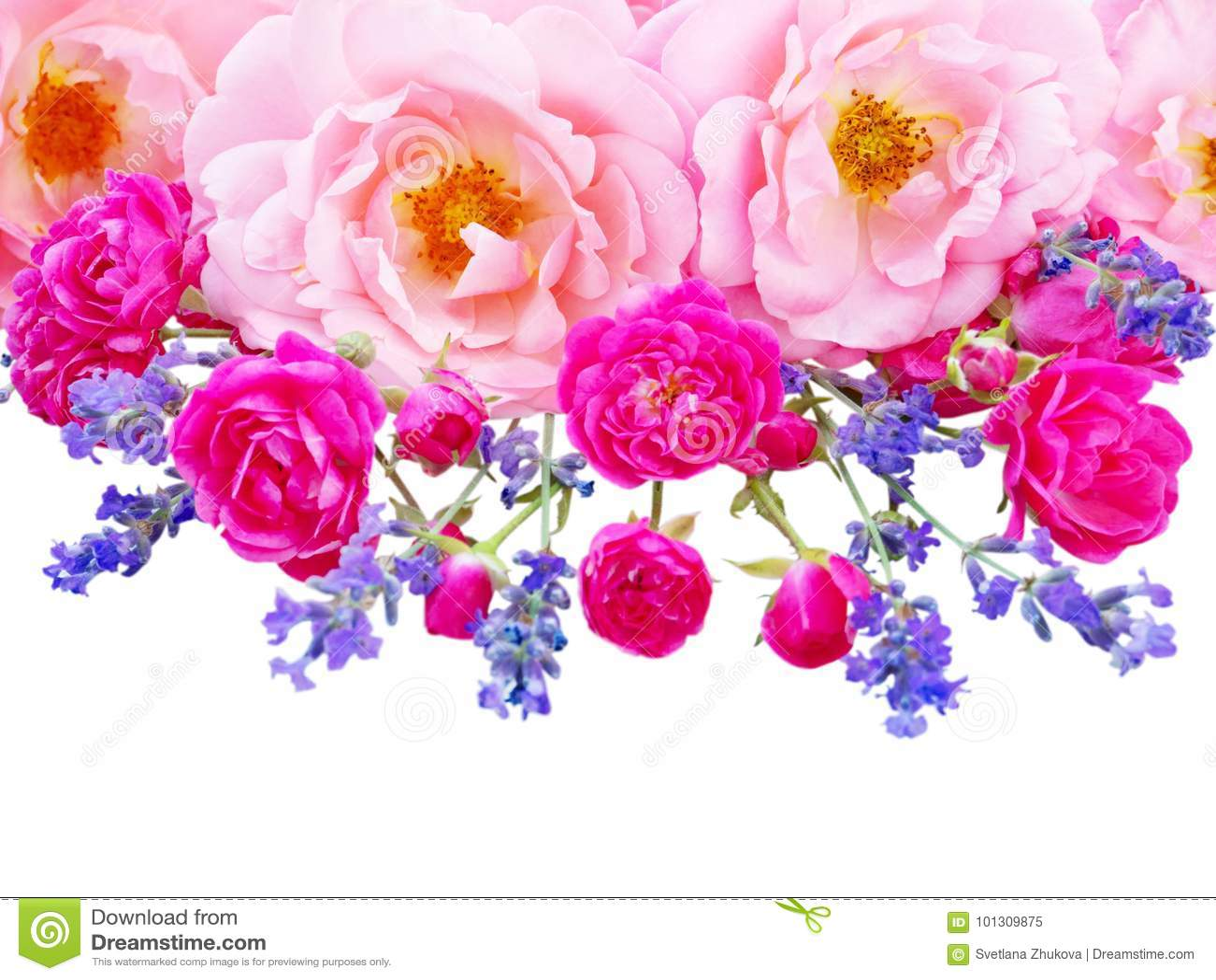 Rosas rizadas rosadas, rosas rosadas vibrantes e isola de la lavanda de Provence