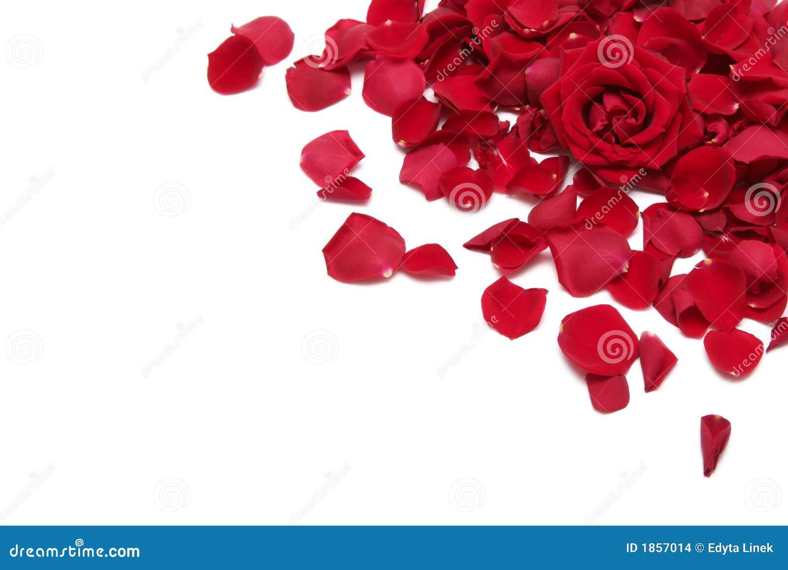 Rosas Rojas Hermosas En Un Fondo Blanco