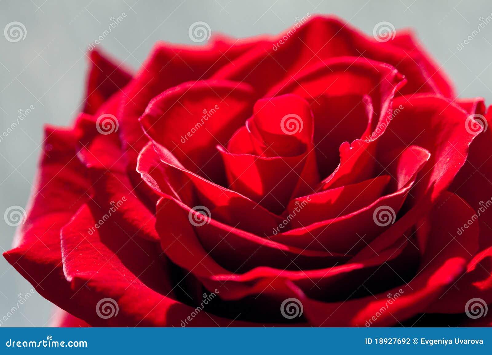rosas rojas hermosas grandes - Fotos De Rosas Rojas Grandes