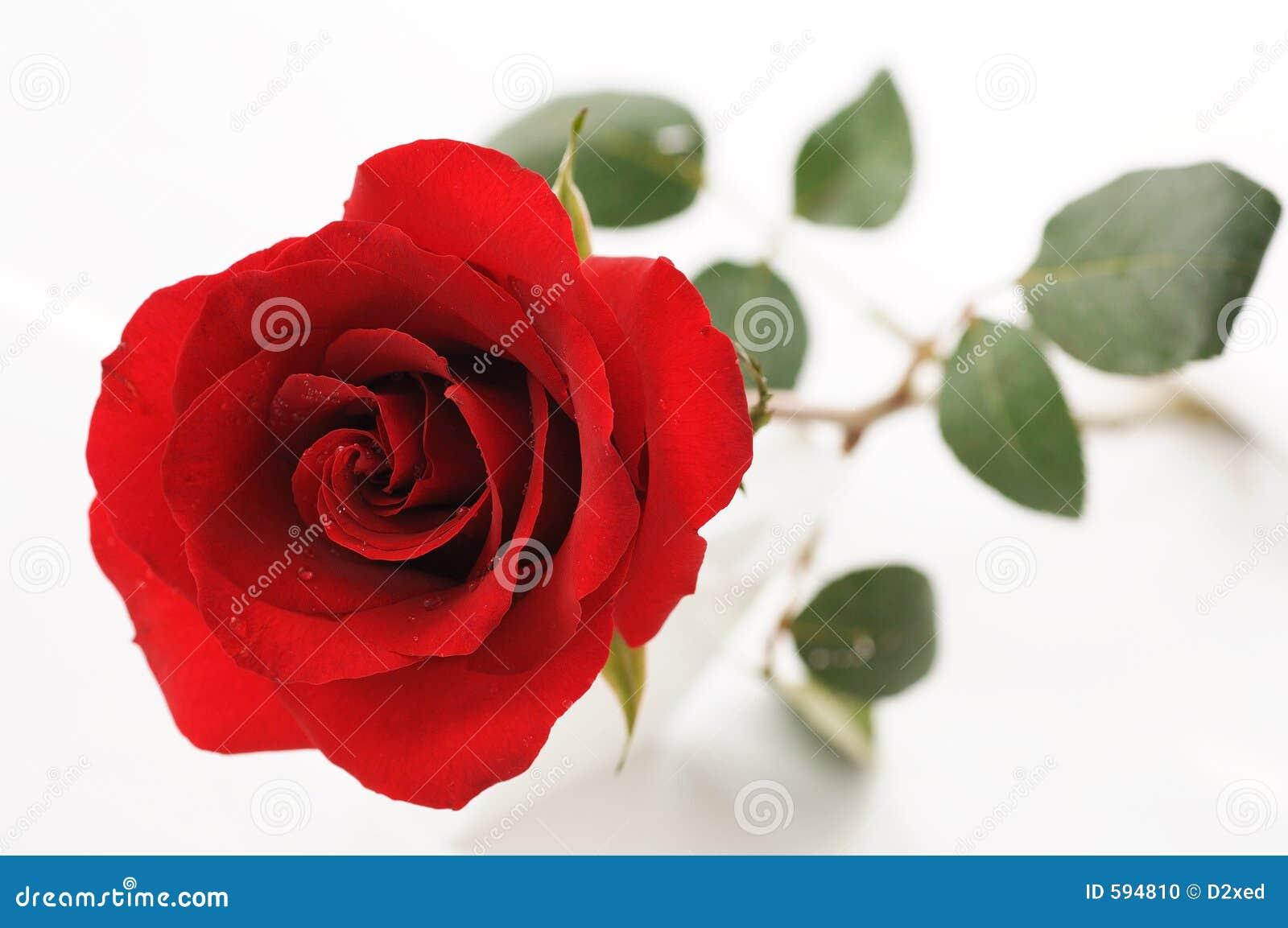 rosas rojas para la tarjeta del da de san valentn