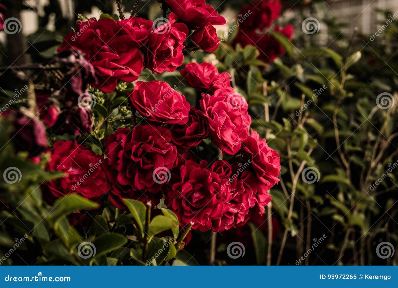 Rosas rojas salvajes