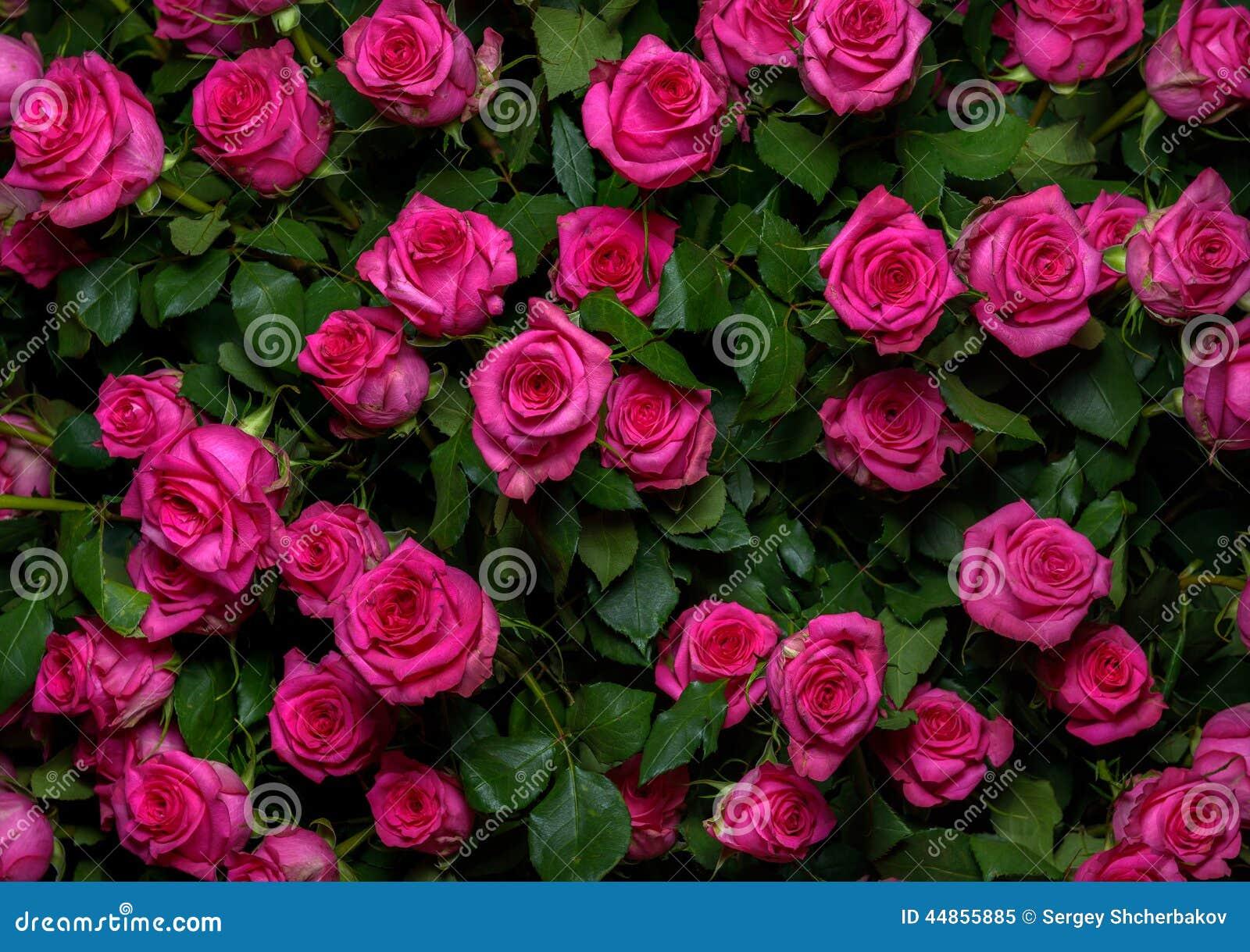 Rosas rosadas 2